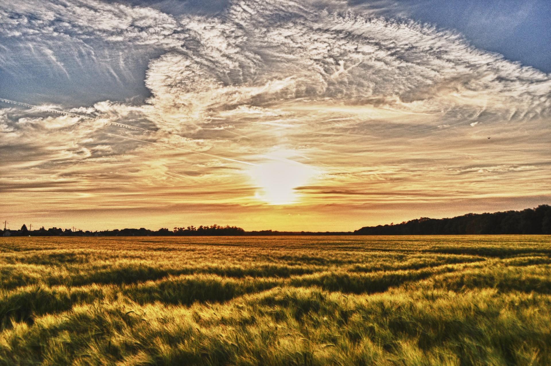 Houle d'un champ de blé caressé par le vent, sous un soleil couchant flamboyant...