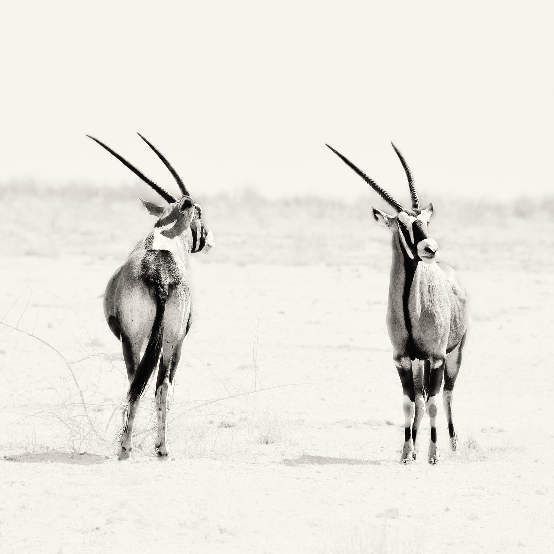 Pile ou Face (Couple d'Oryx, Etosha, Namibie)
