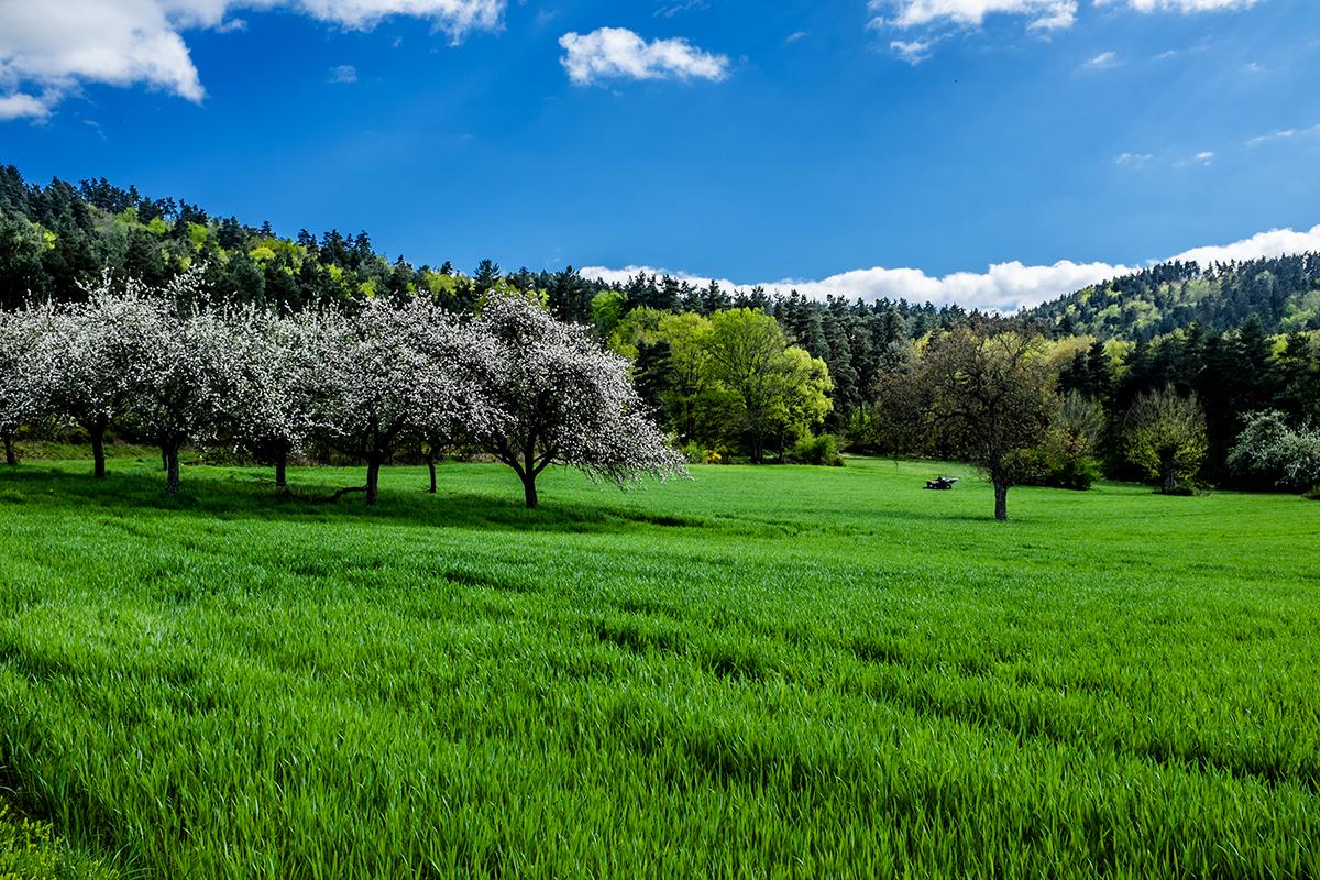 Les cerisiers