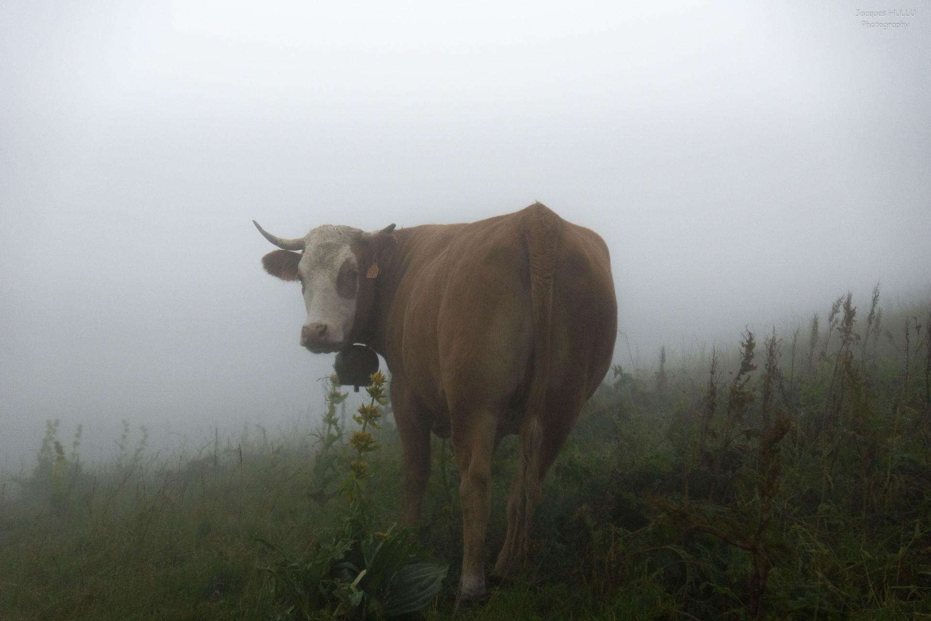 Une vache dans le brouillard