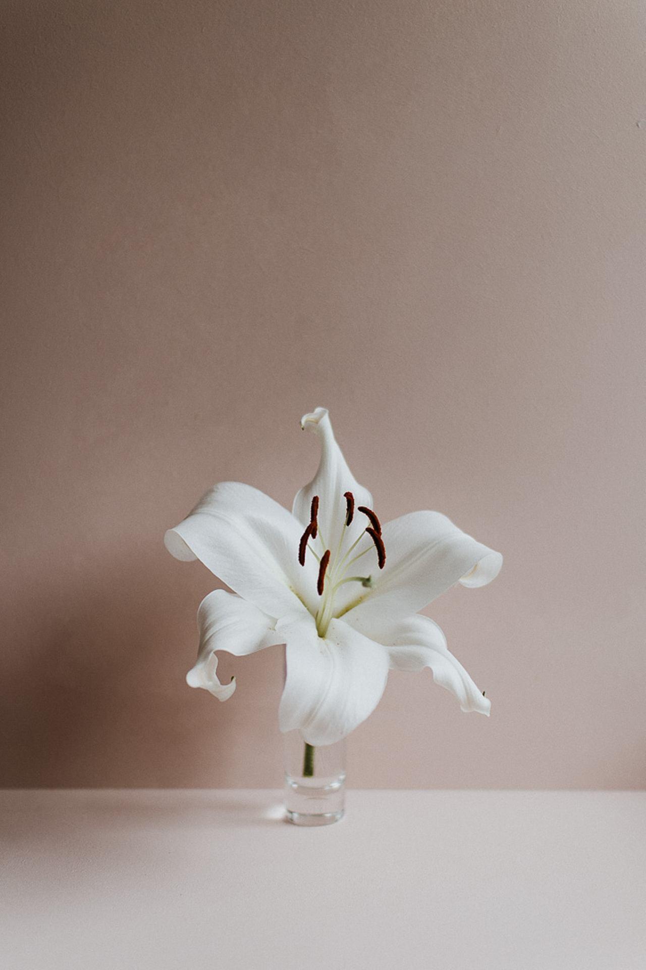 Lys blanc sur rose
