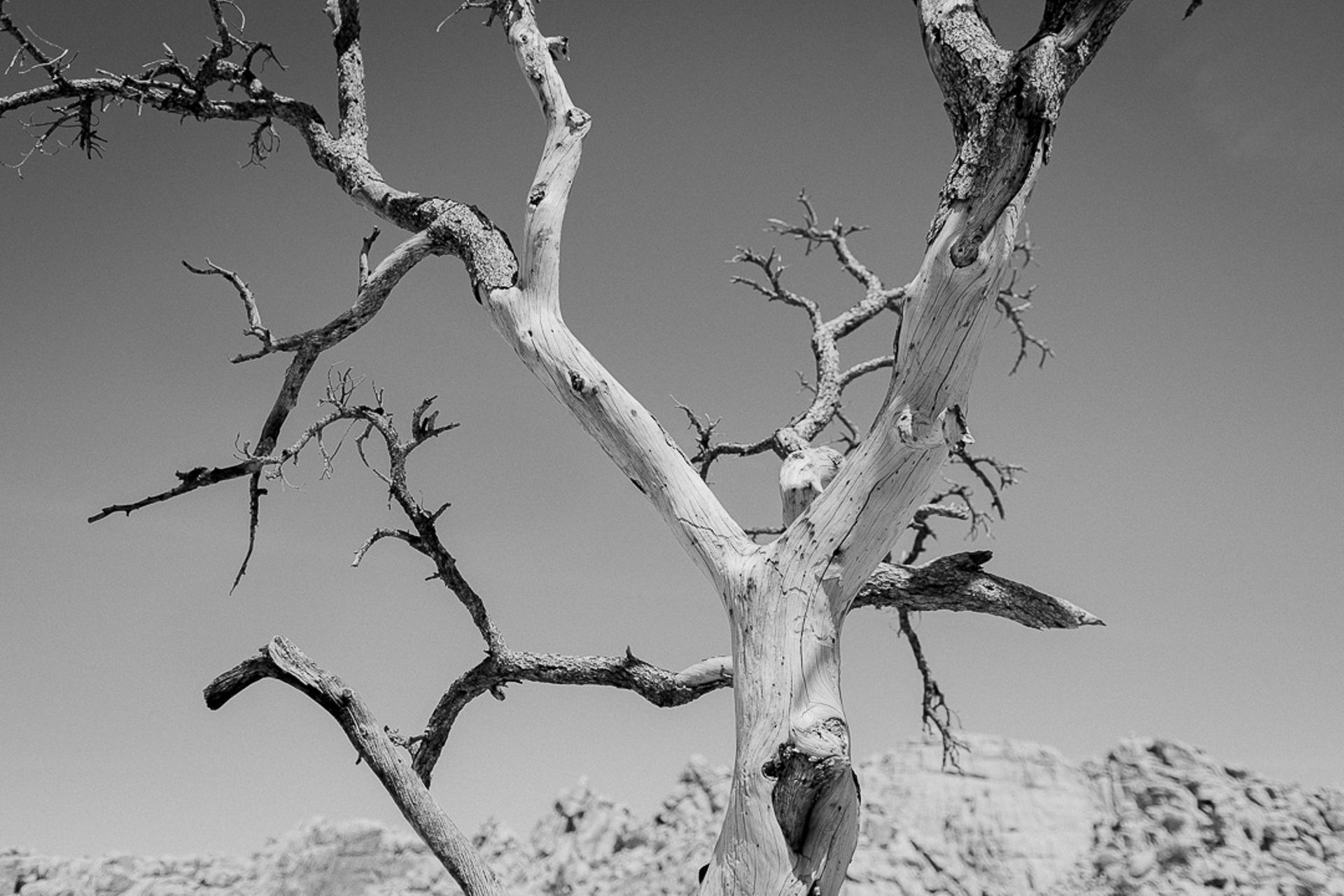 dead tree in Joshua Tree