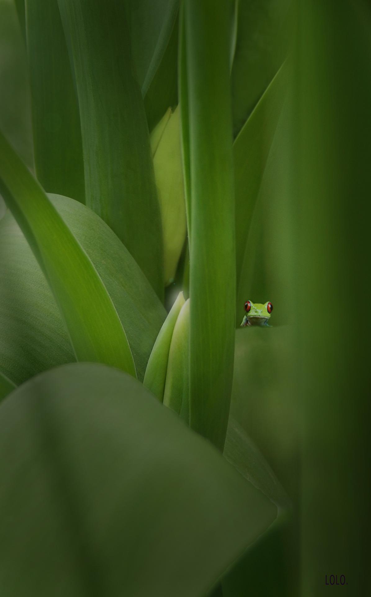 La grenouille qui voulait se faire aussi petite que possible !
