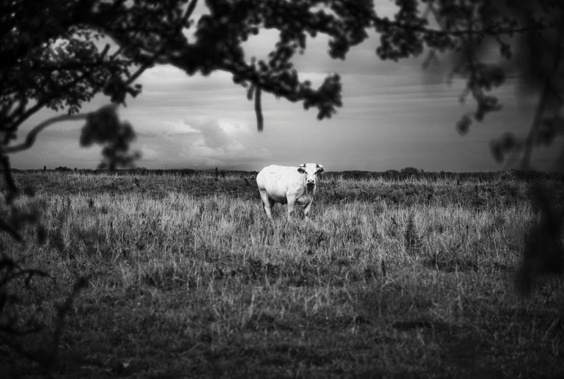 Vache dans la prairie