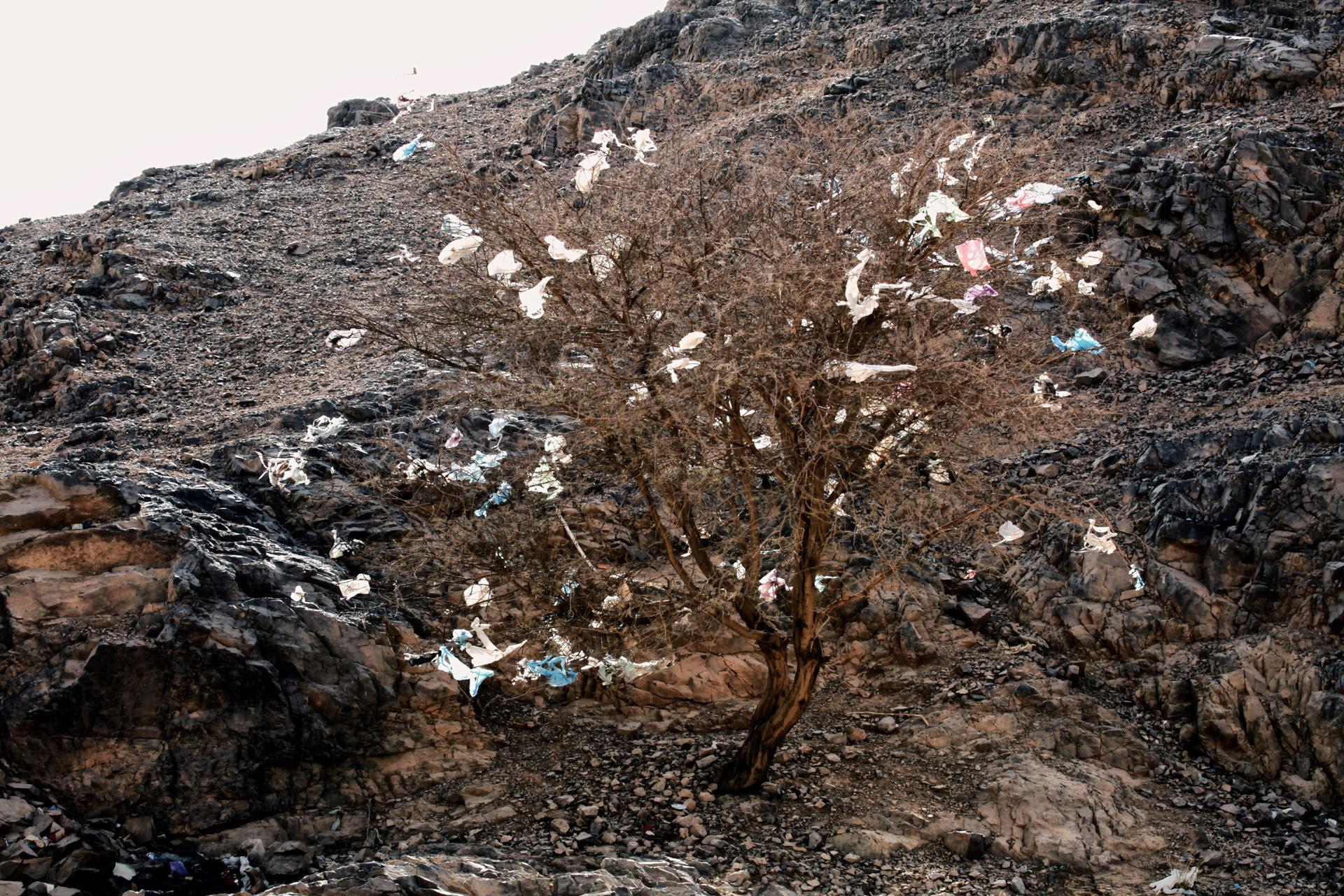 acacia en fleur dans le désert.