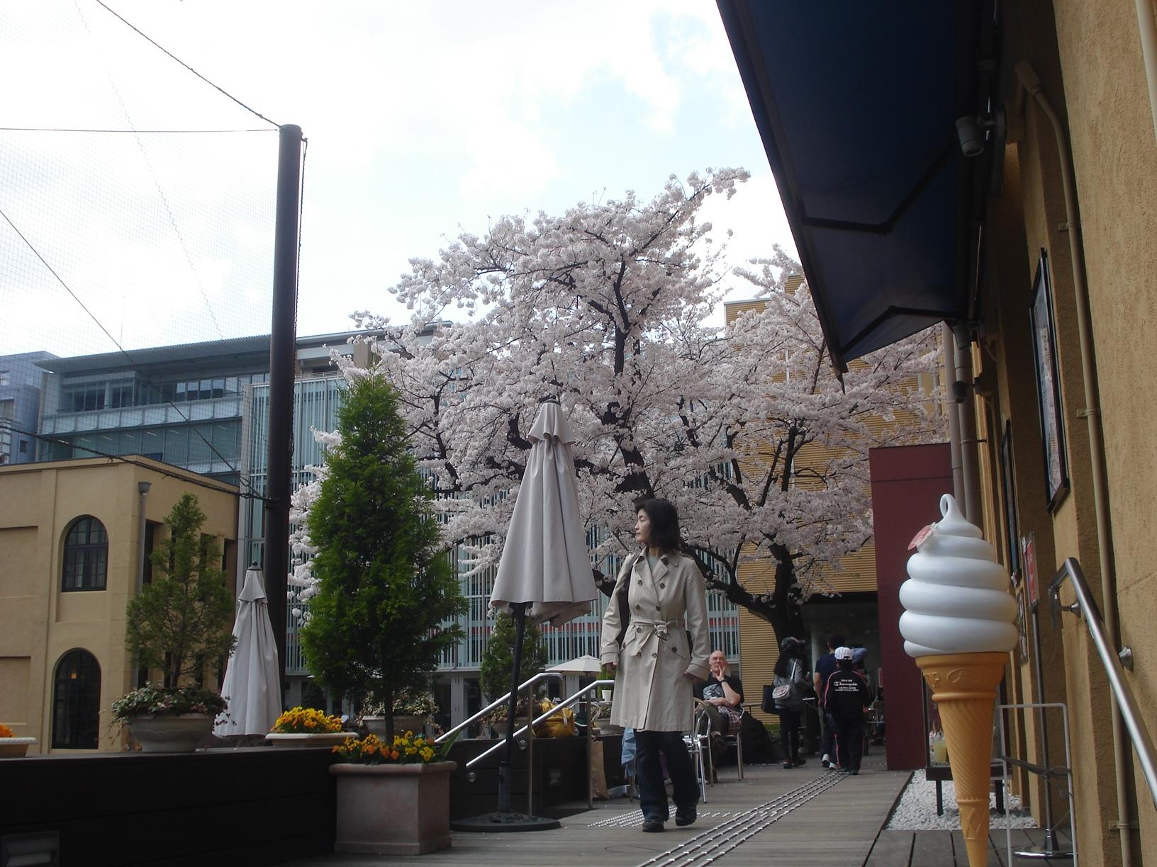 Cerisier et glace, Kyoto