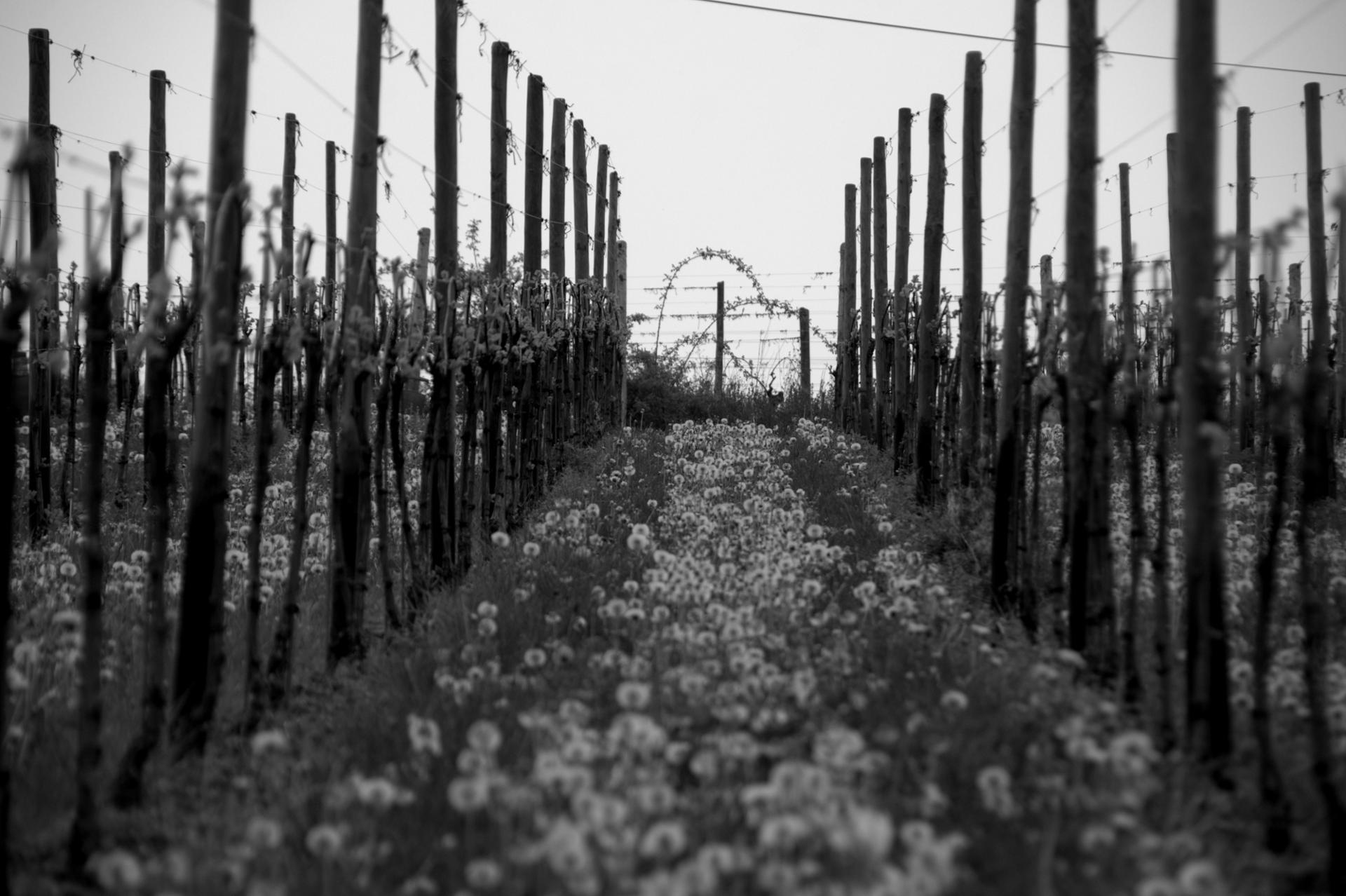 la symetrie des vignes