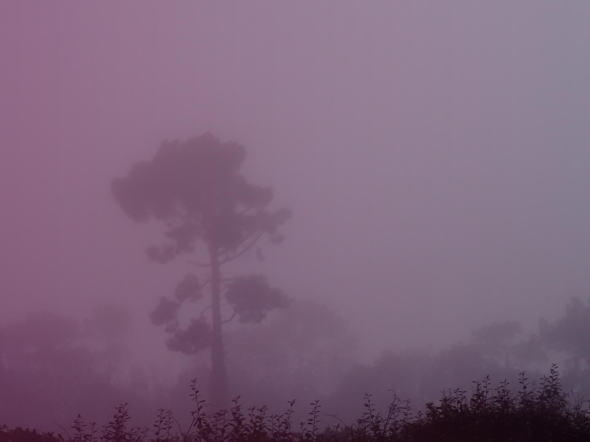 pin dans la brume