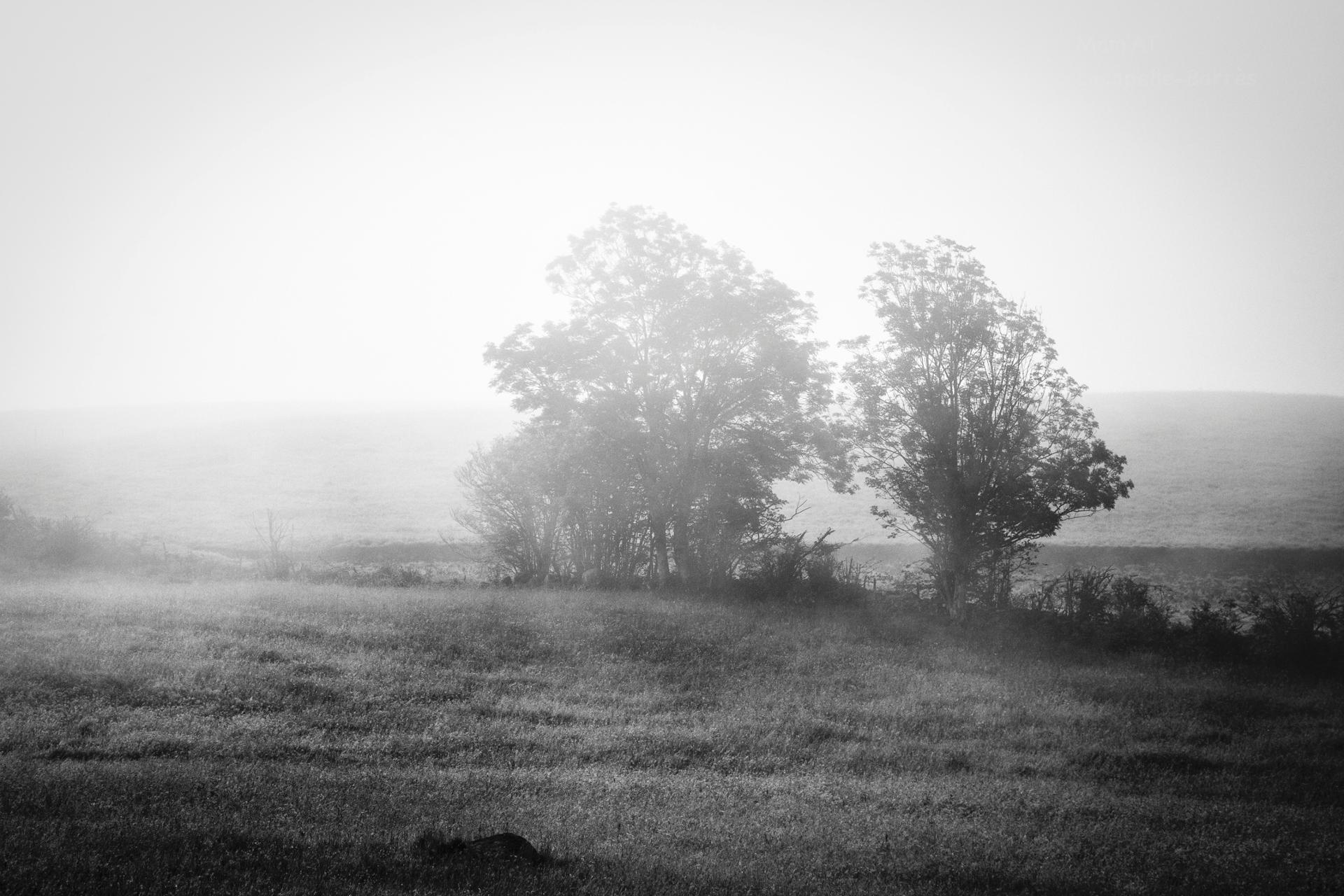deux arbres dans la brume