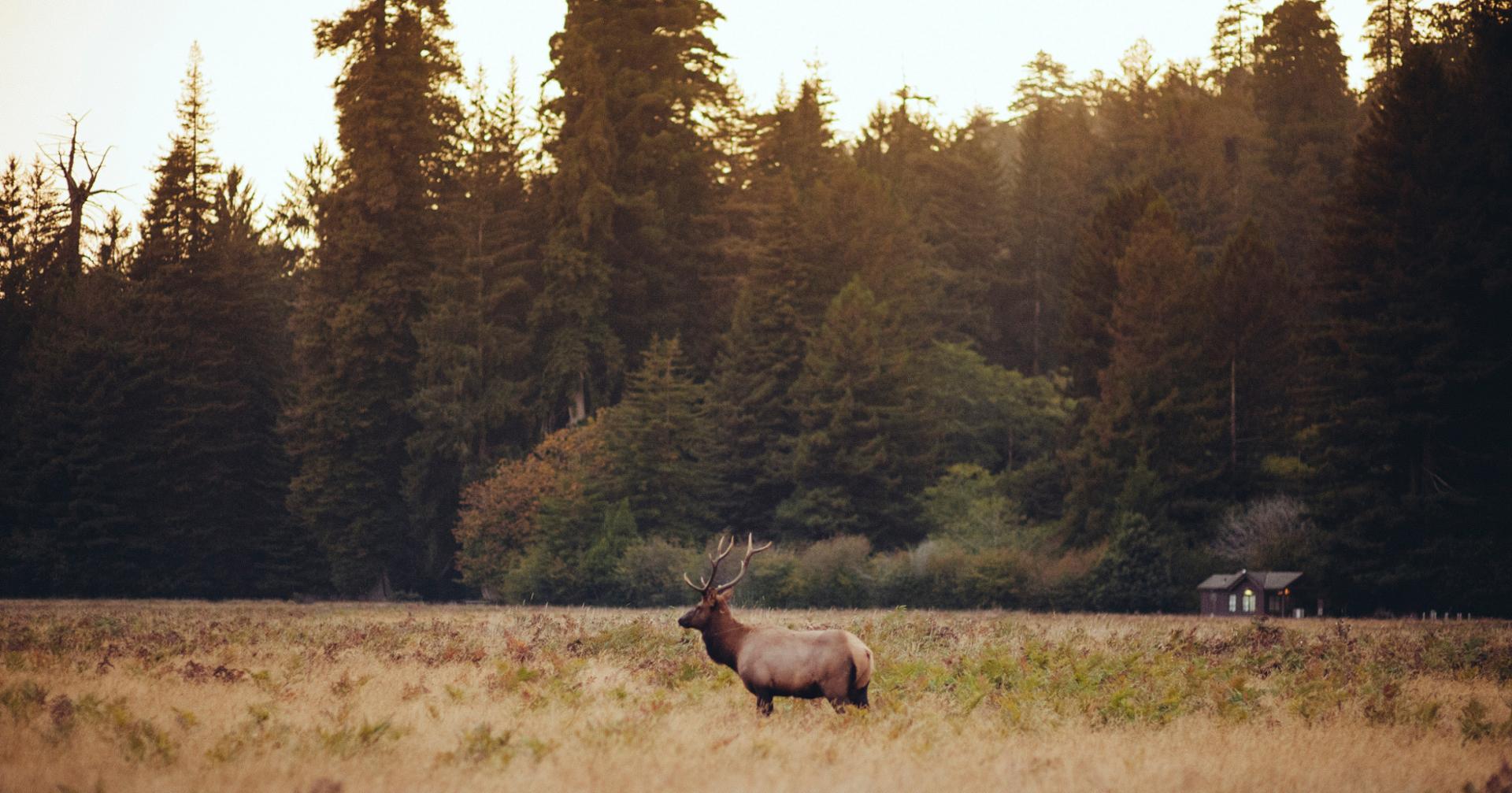 The majestic Elk in Oregon 2