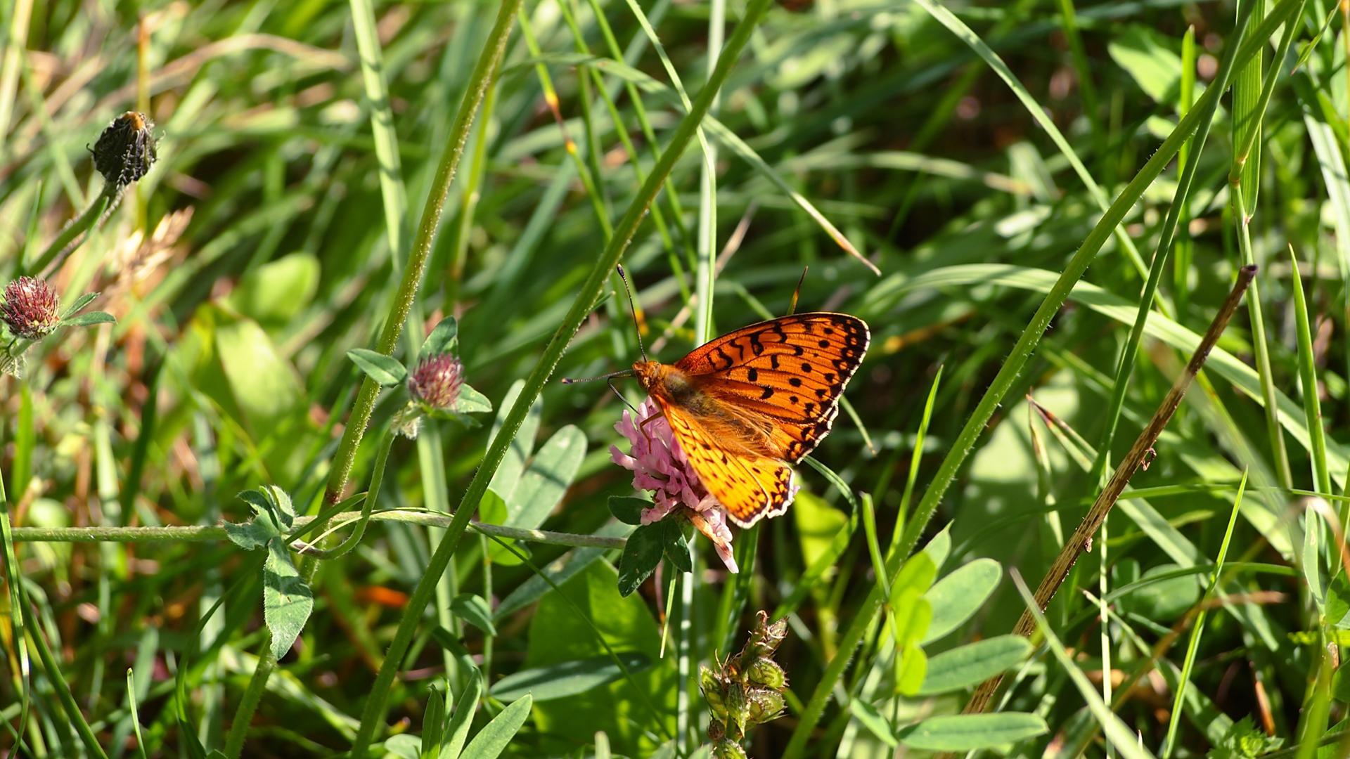Papillon orange.