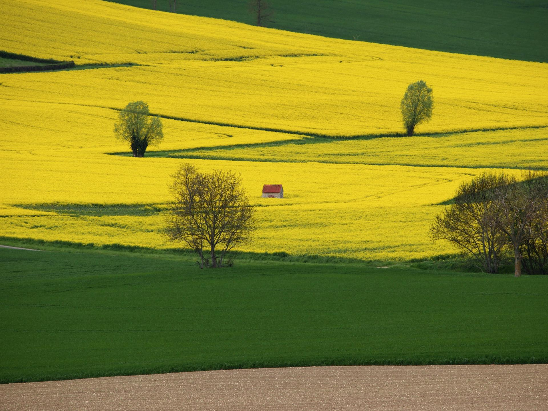 La petite maison dans un champ jaune.
