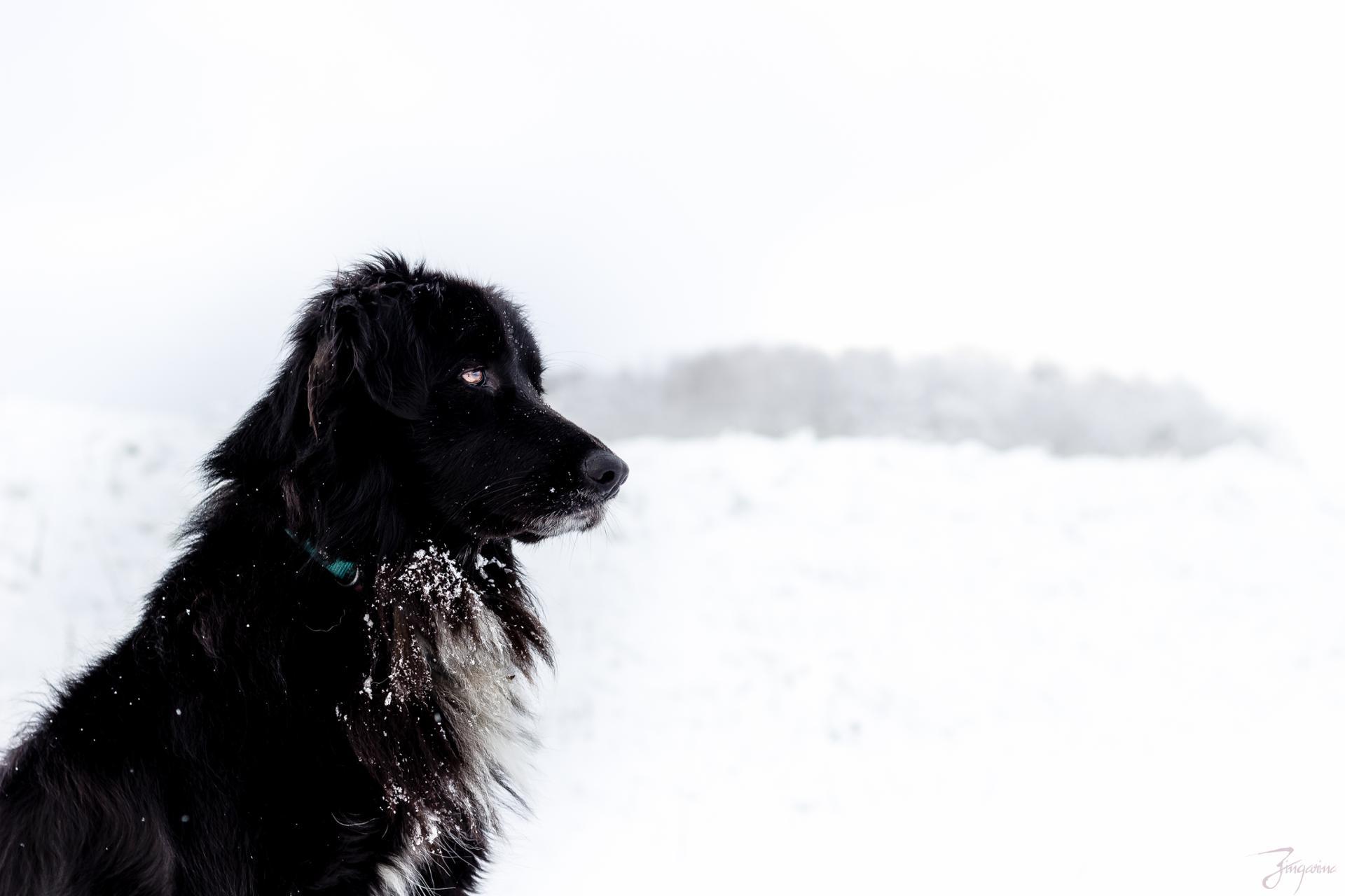 Un chien en hiver.