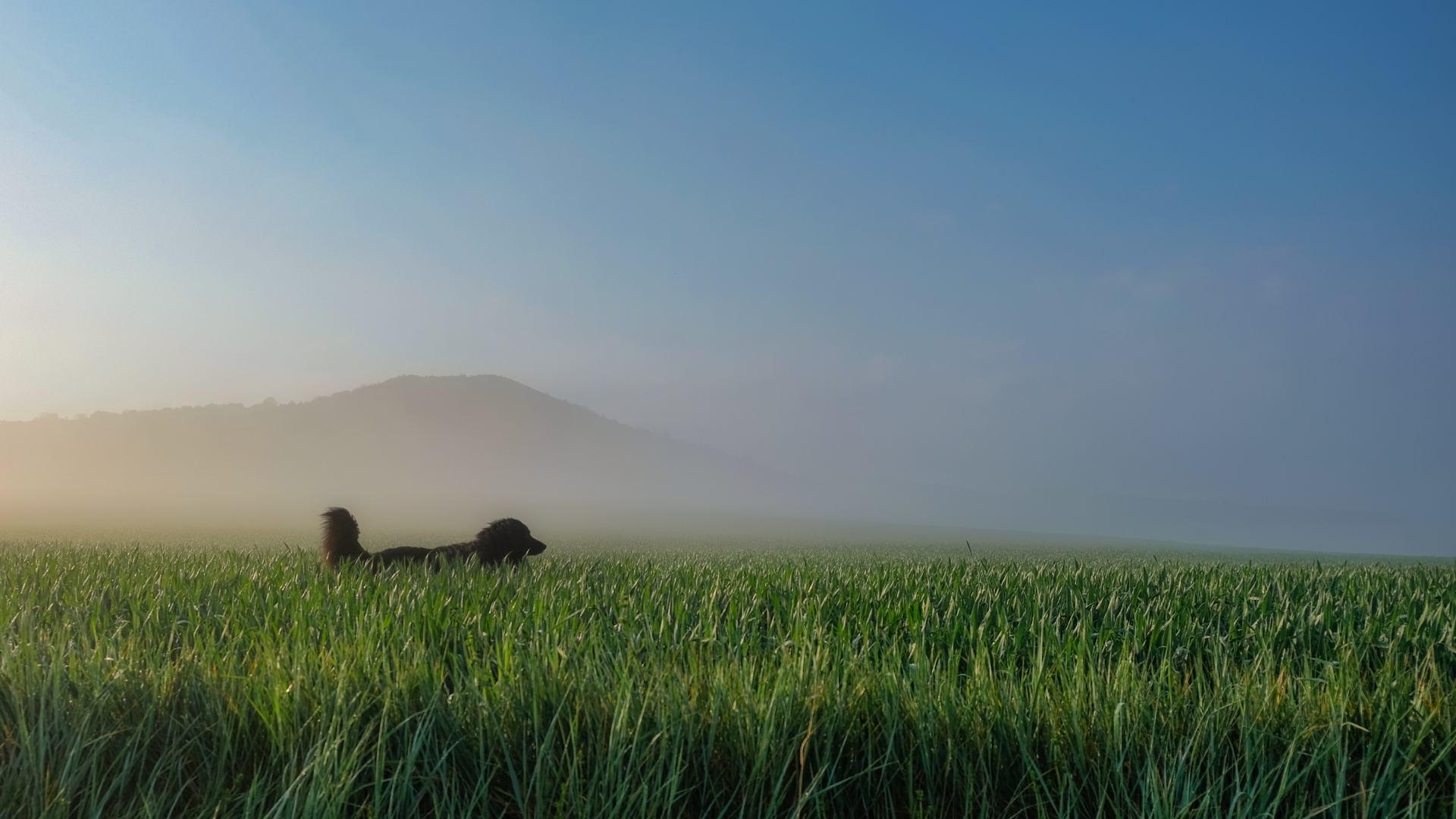 Entre brume et blés.