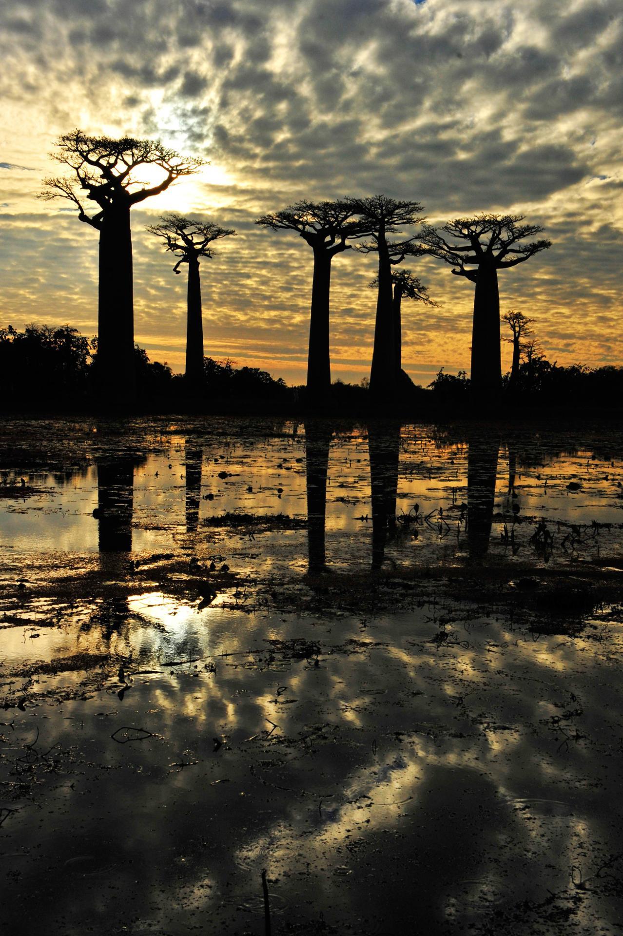 baobabs , morandava, madagascar