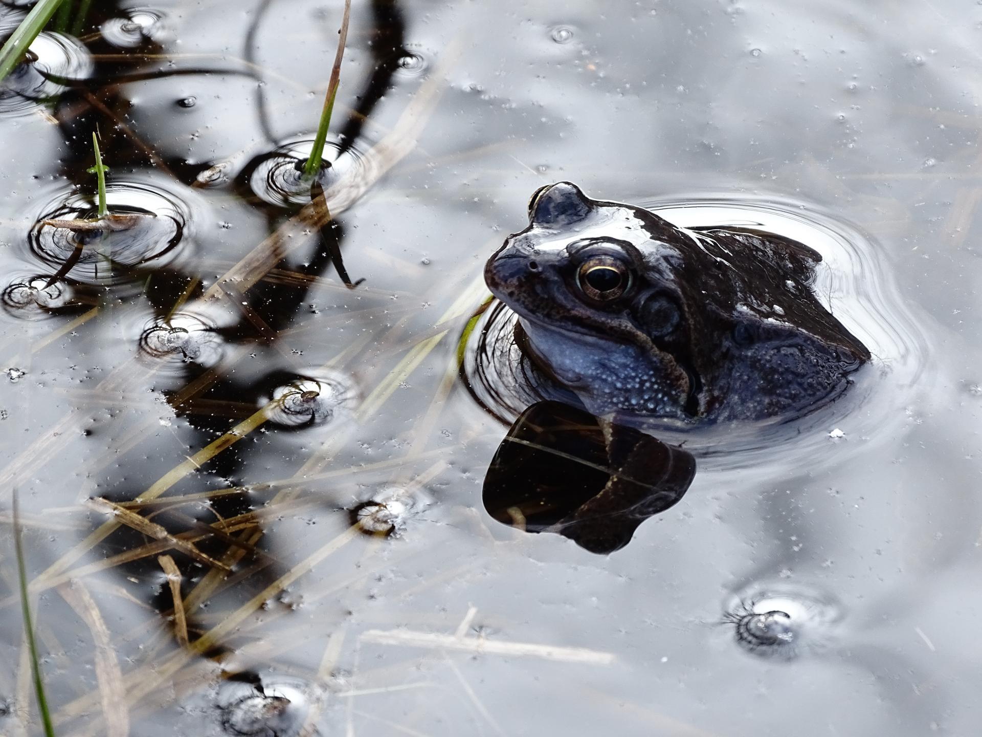 la grenouille des bois