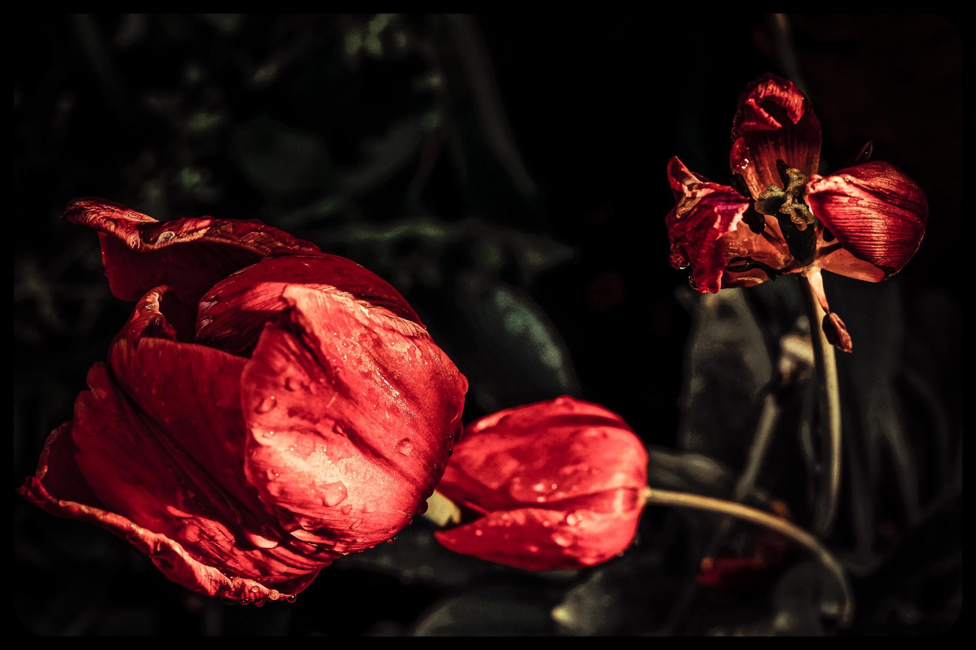 Rouge Rosée