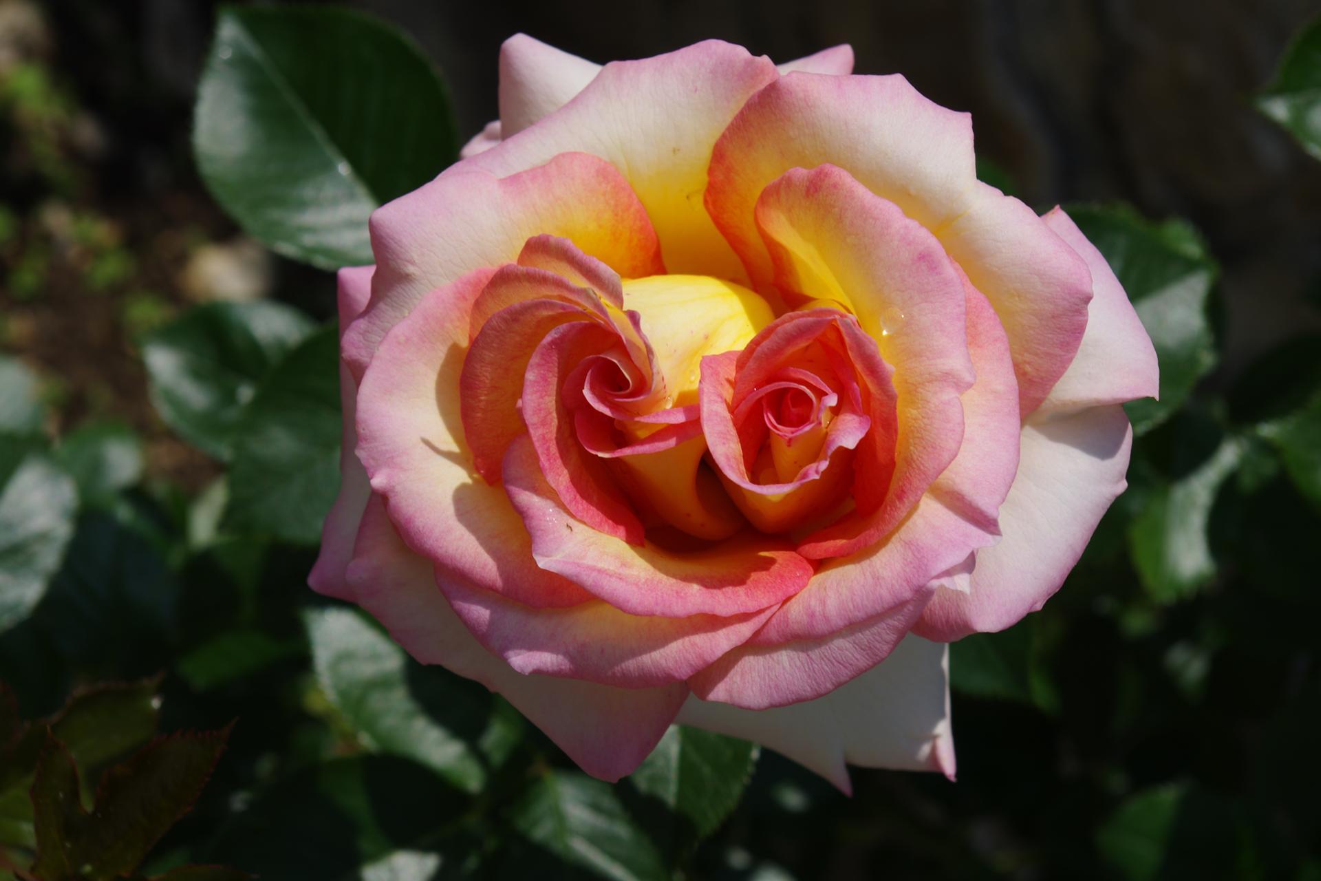 Deux coeurs pour une rose