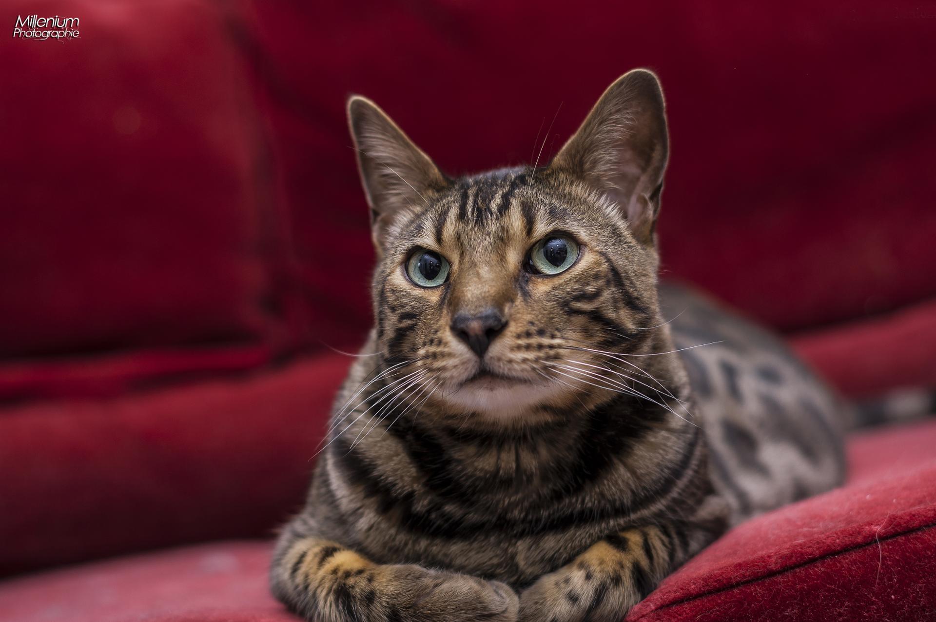 gwenval chat bengal de 4ans
