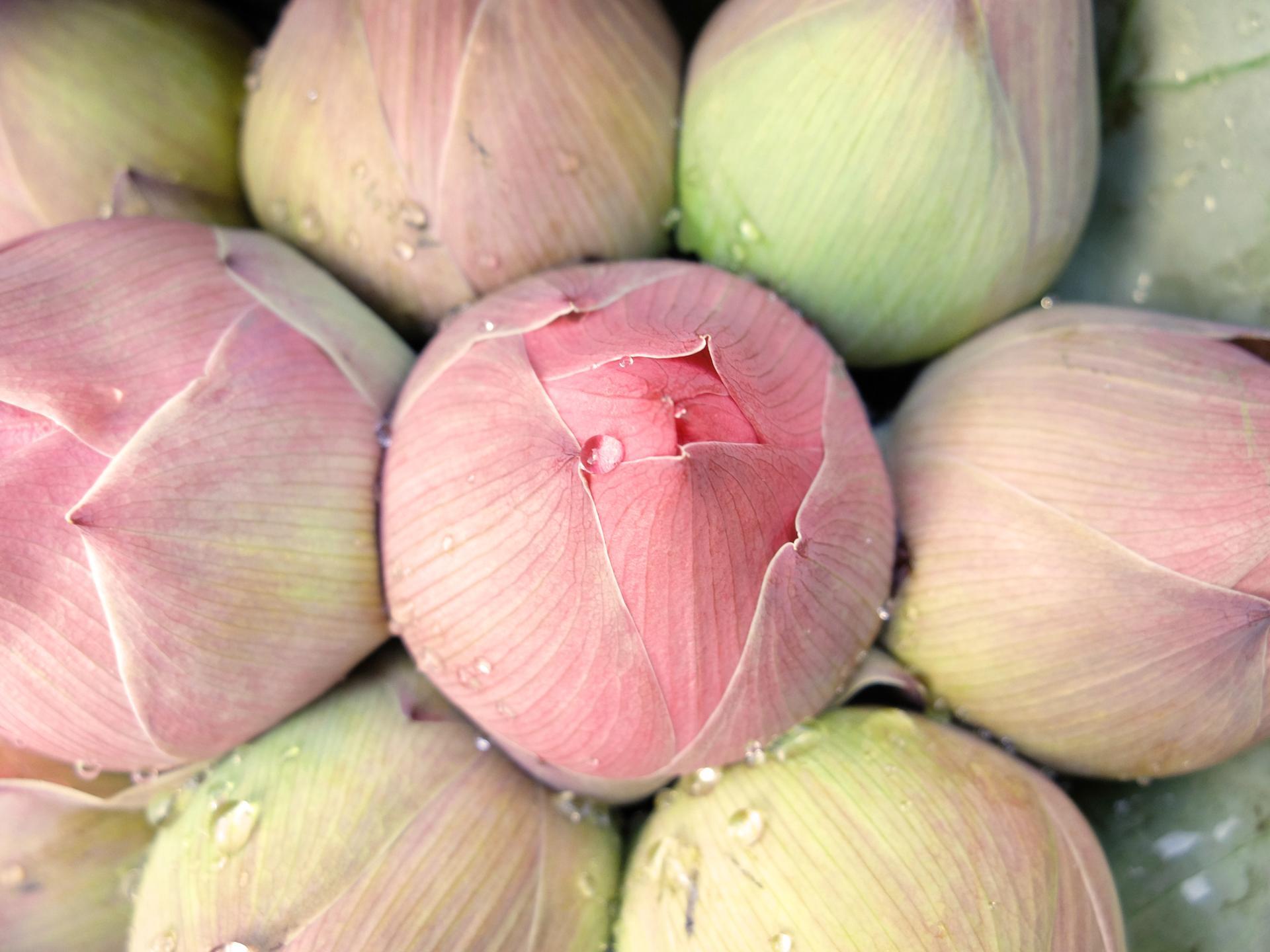larme de rosée sur fleur de lotus