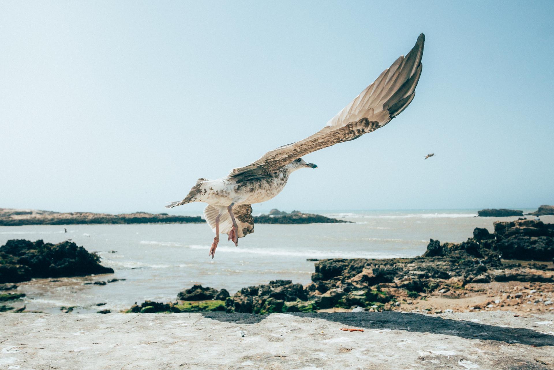 Essaouira / Goeland Leucophée