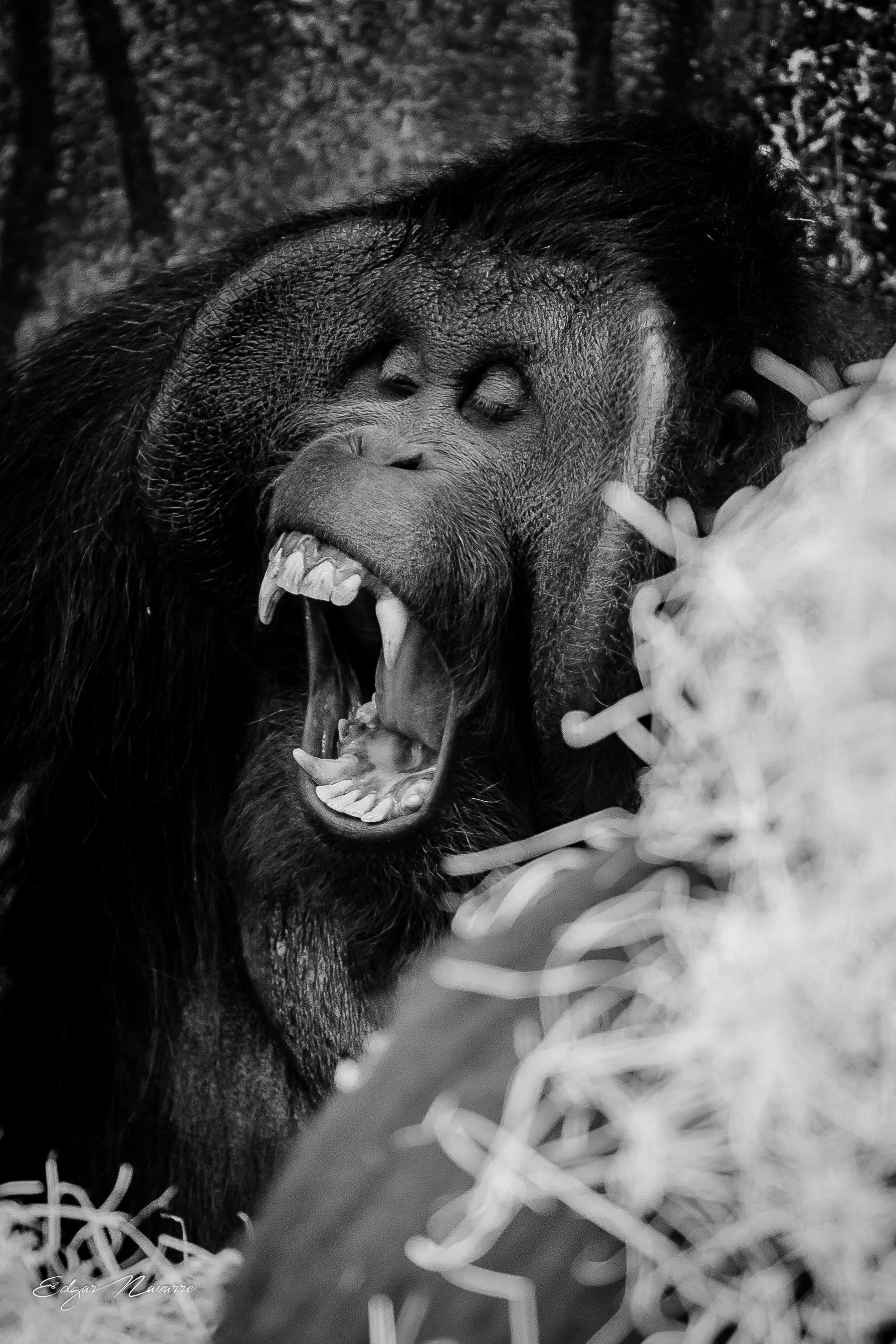 Yelling orangutan