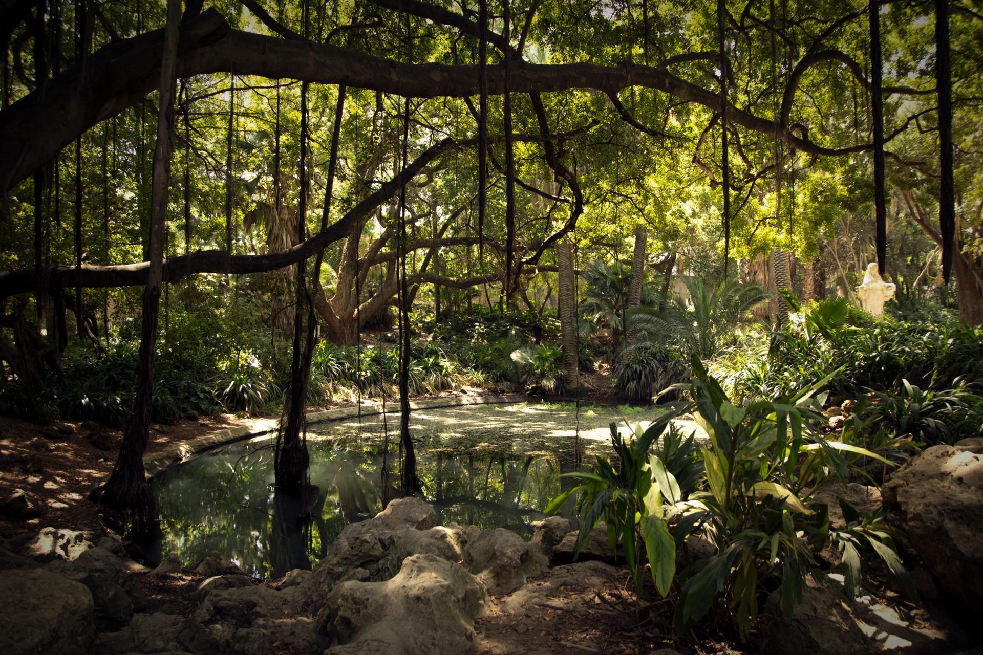arbre de Tarzan (Jardin d'Essai-Alger)