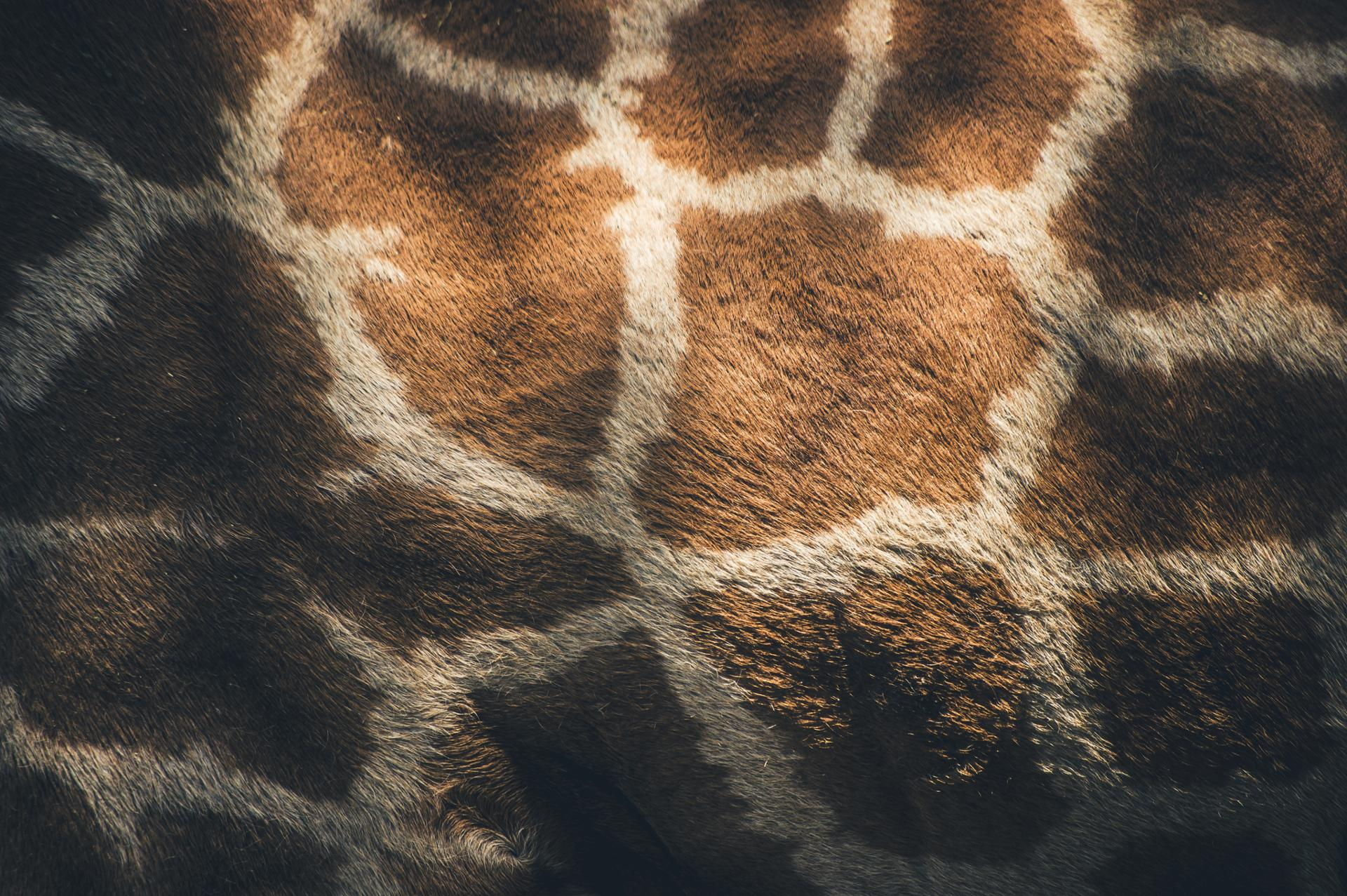 Wallpaper of giraffe