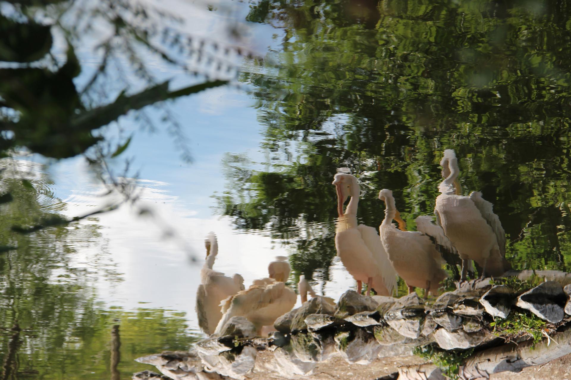 Pélican blanc - Parc zoologique de Lille - France
