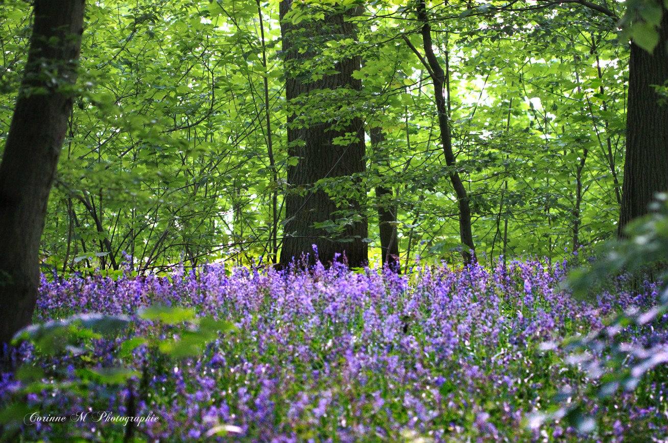 Tapis de jacinthes en sous-bois