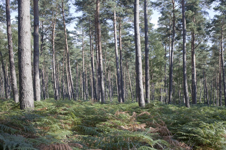 A travers la forêt d'Ermenonville, Oise