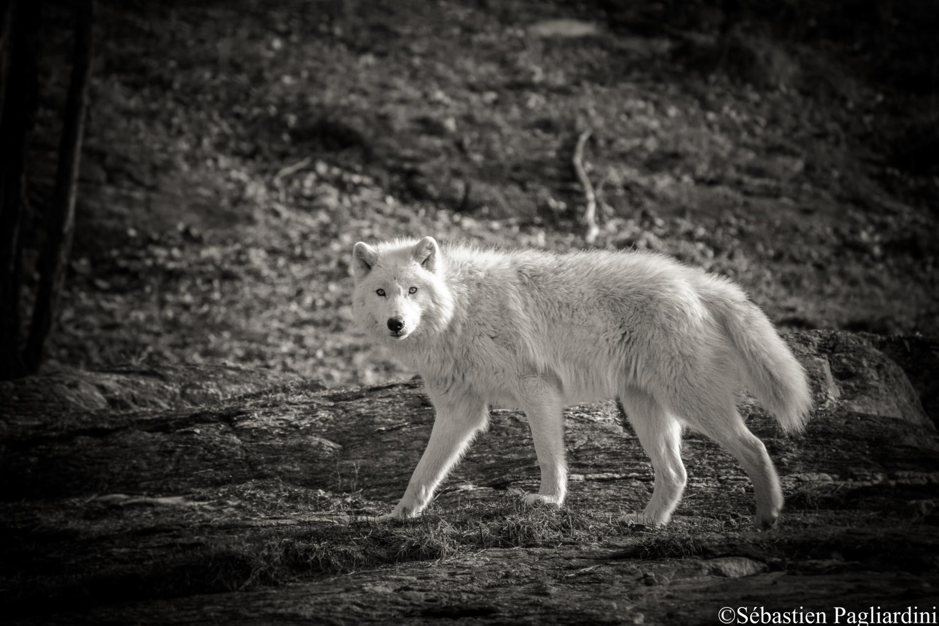 Artic Wolf - Canada