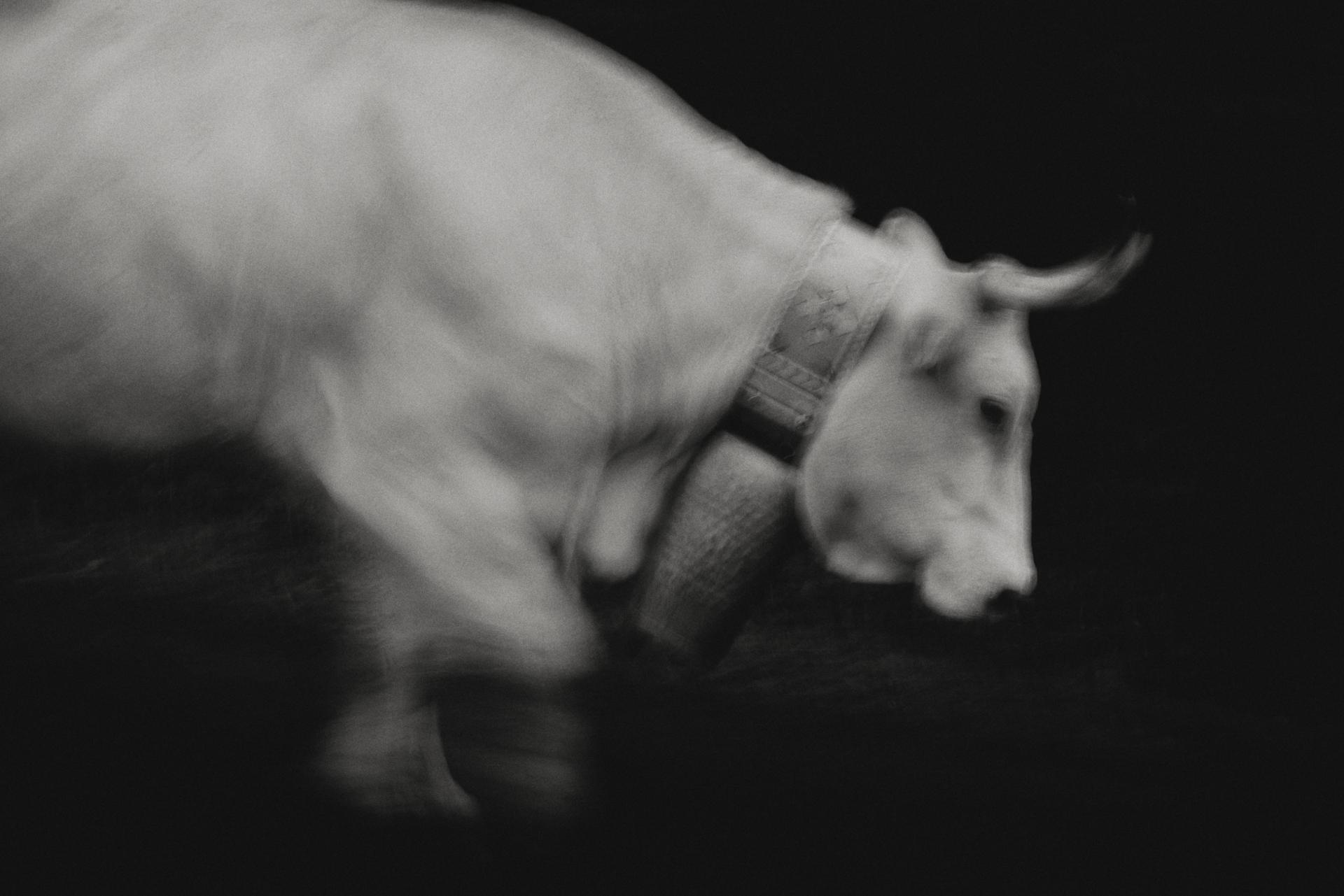 Aussi lent qu'une vache