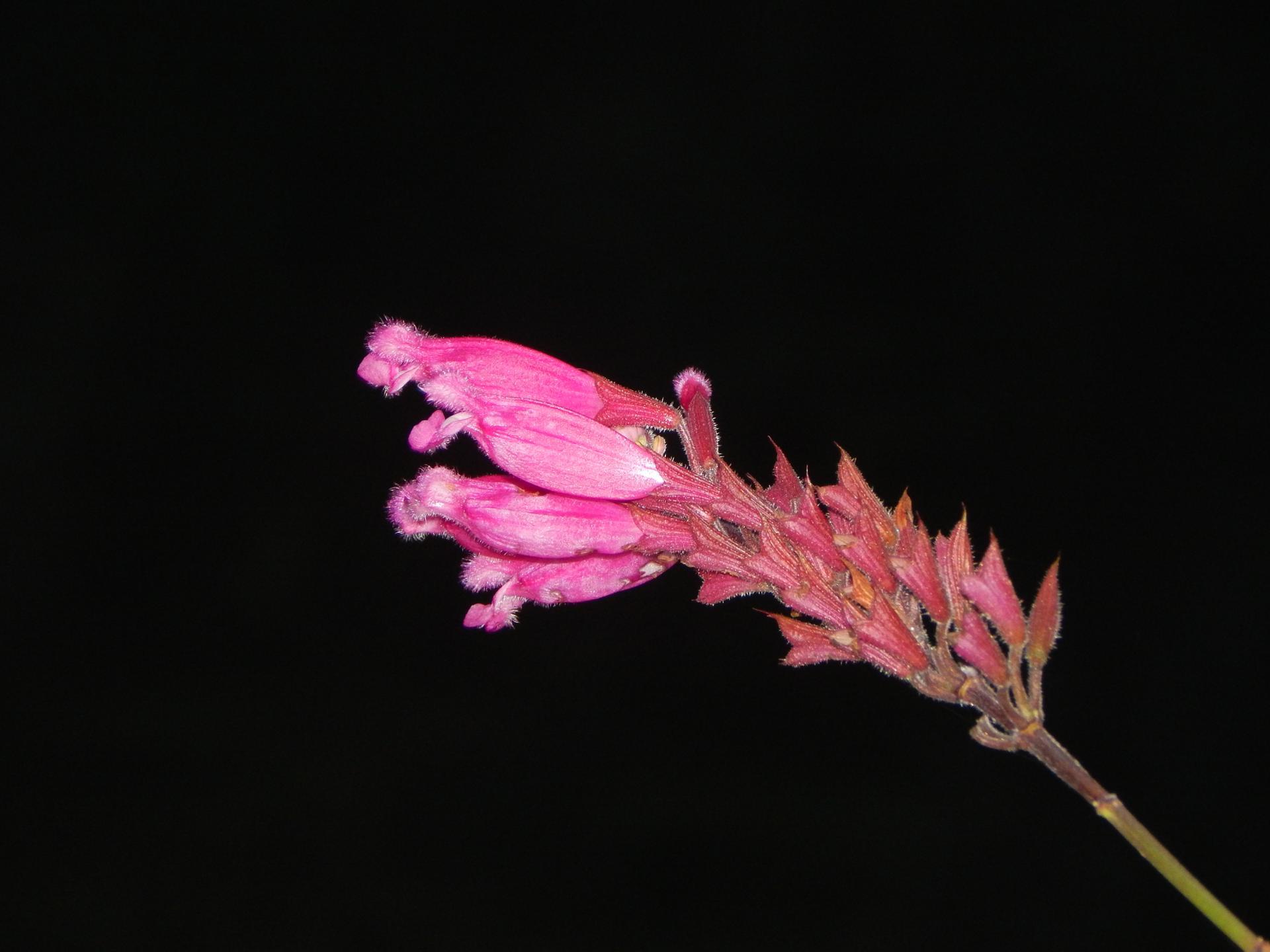Nuit rose