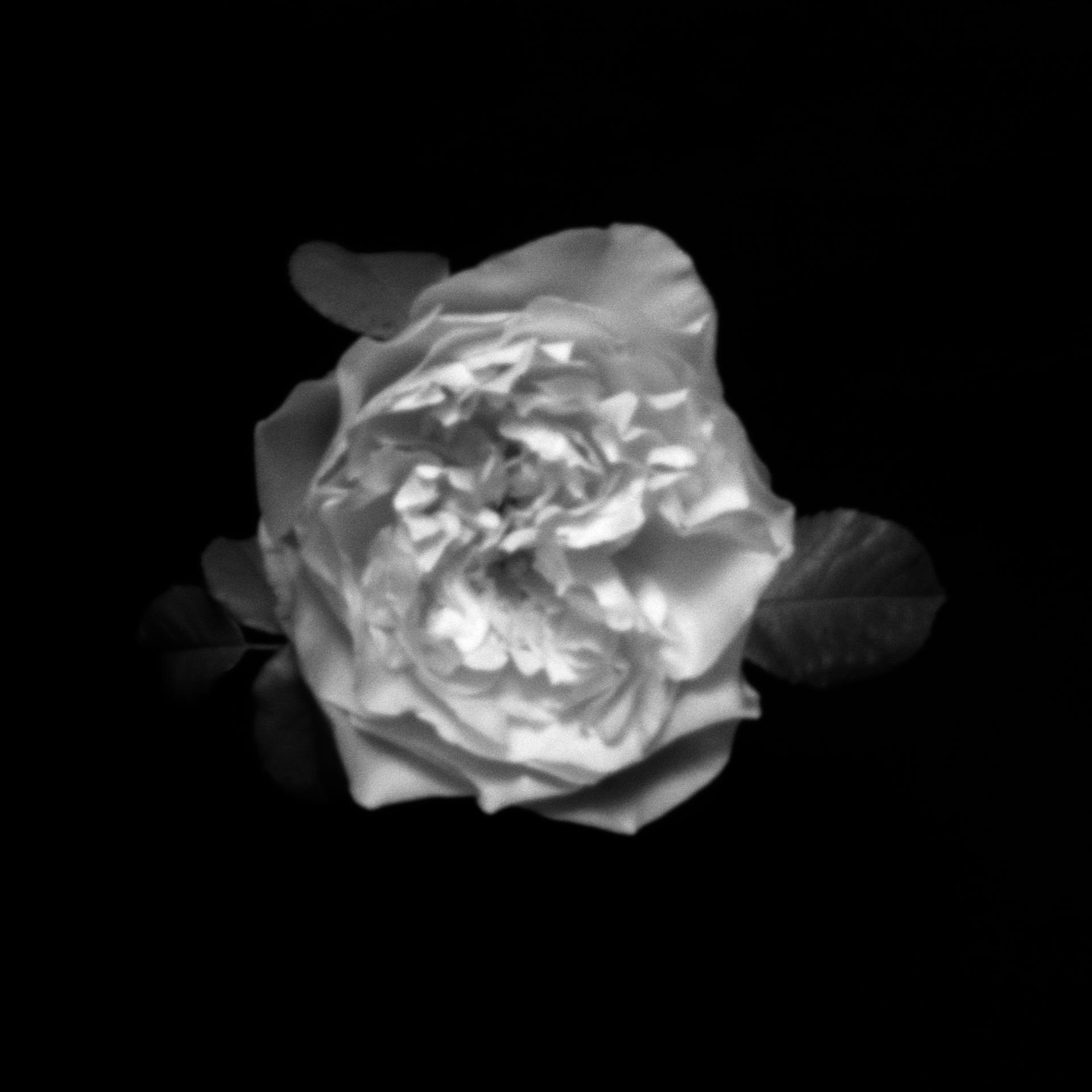 rose (sténopé)