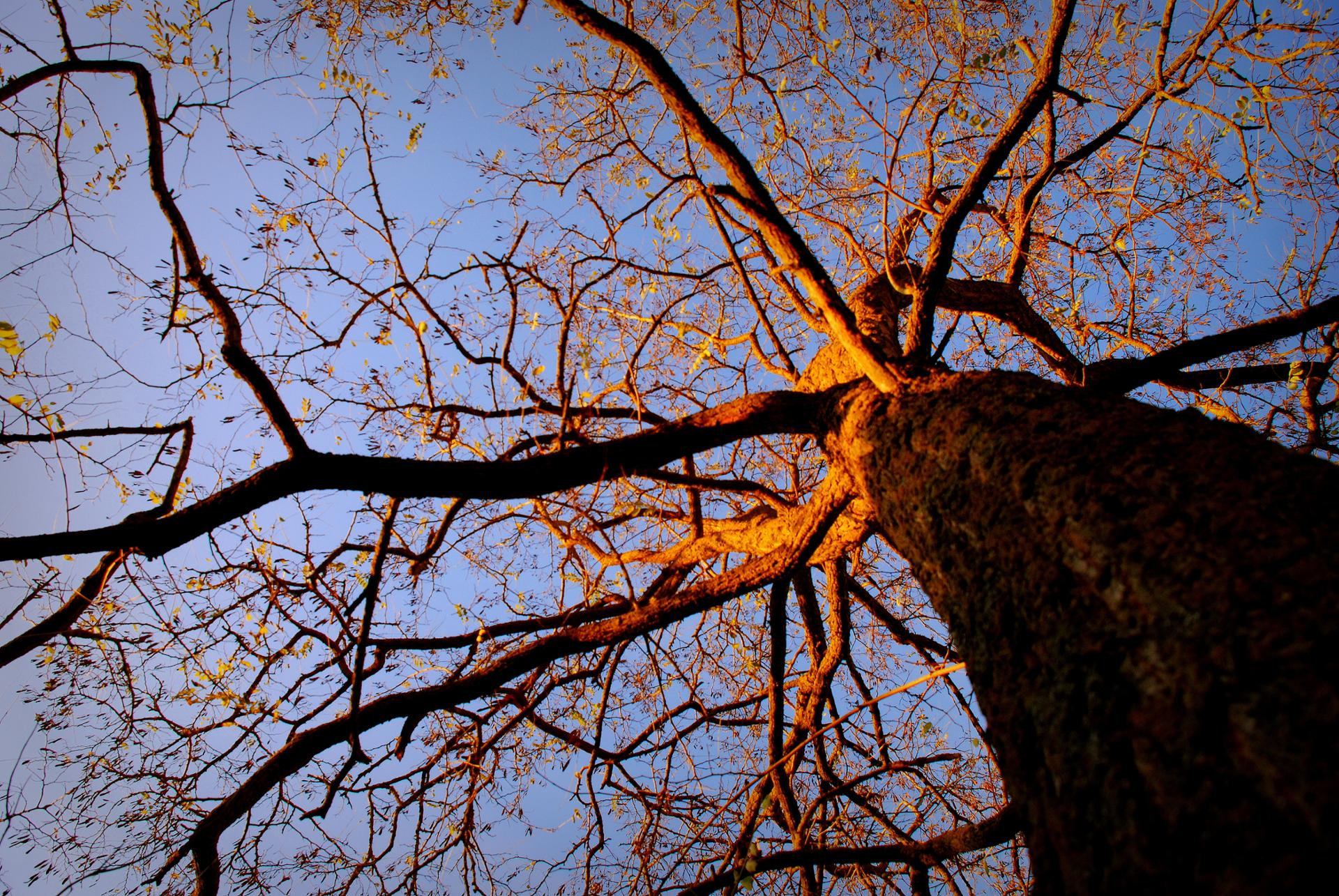l'acacia au soleil couchant