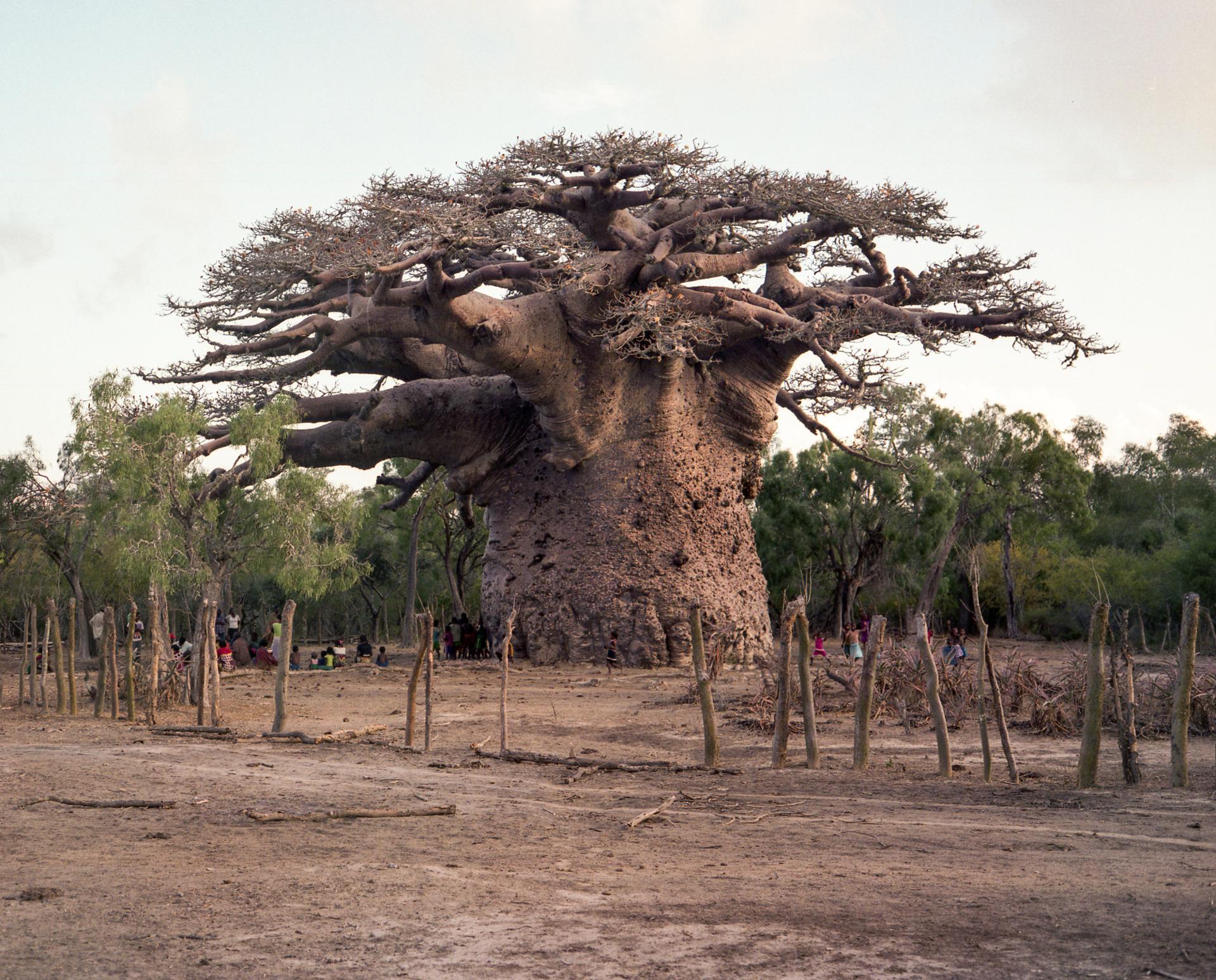 Le Baobab des Baobabs