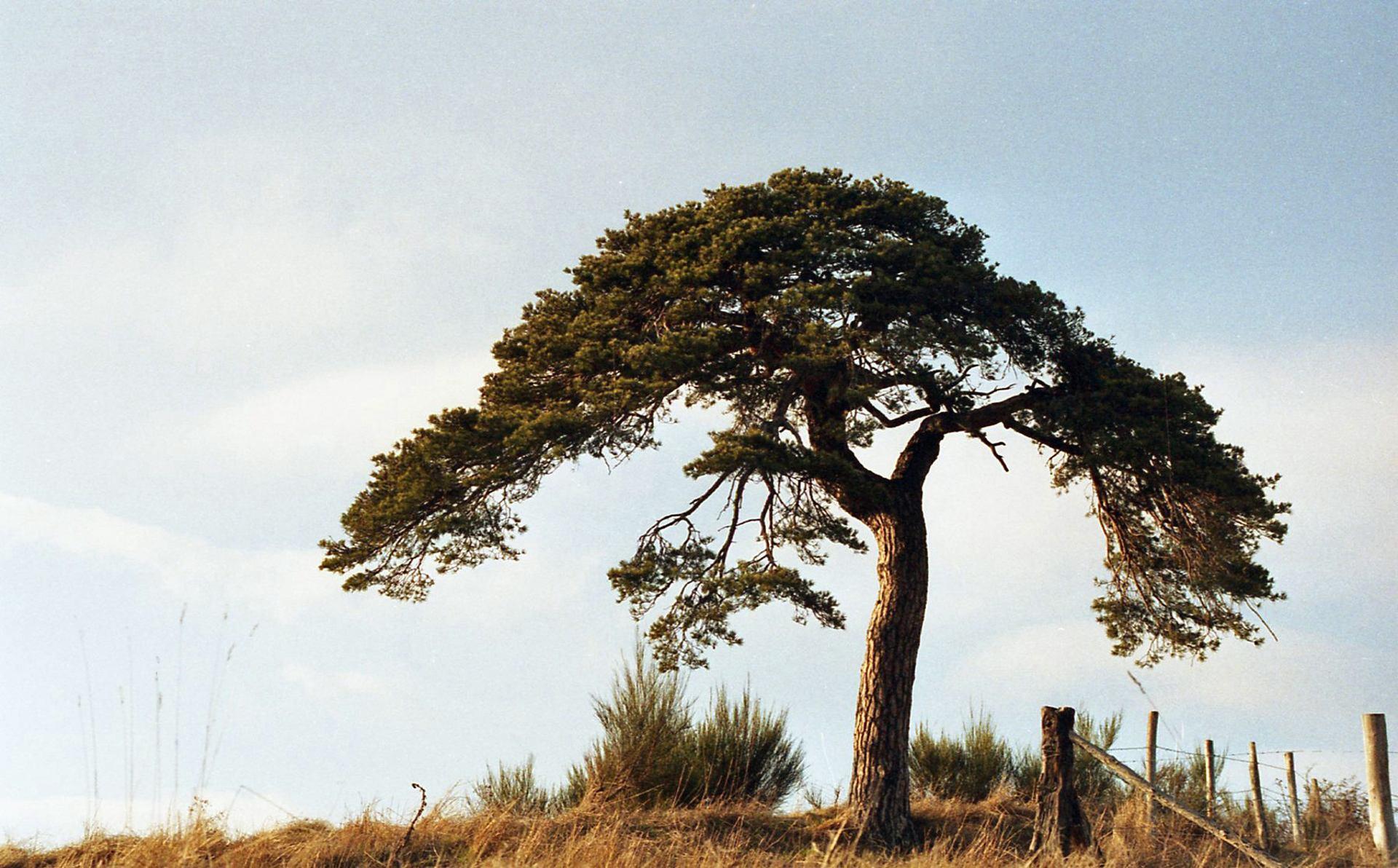 Le pin et les épis