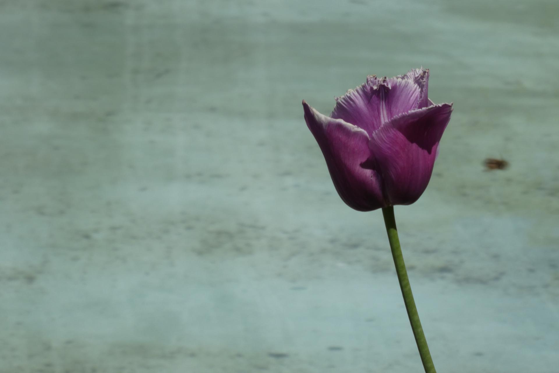 Tulipe pourpre