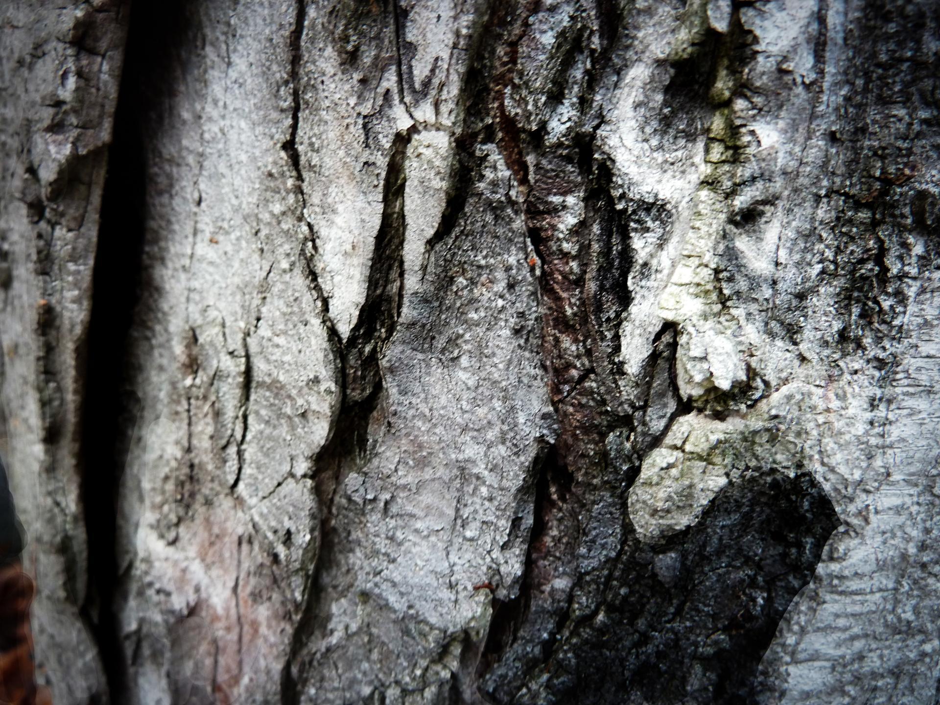 Vieil arbre mort
