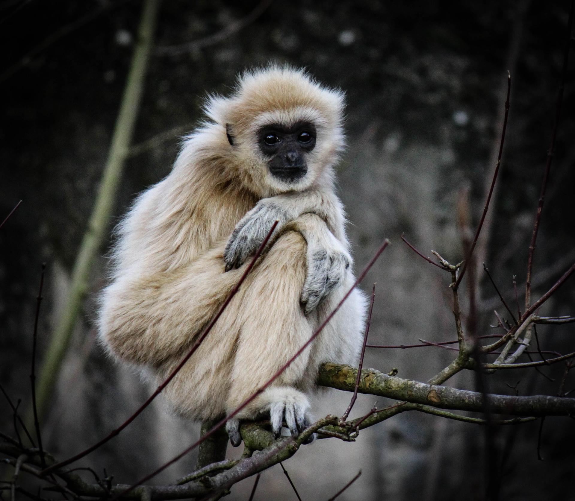 Sourire de primate captif