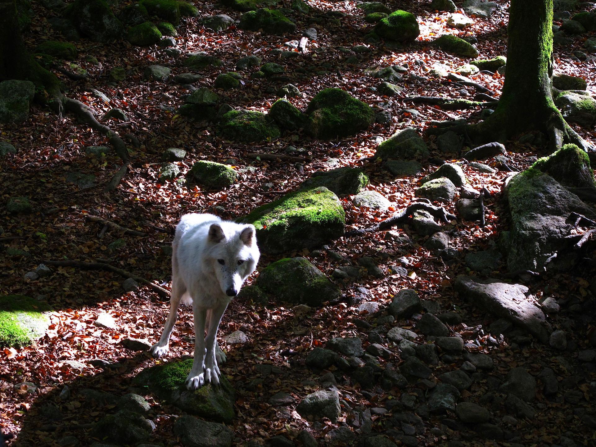 Loup dans la lumière
