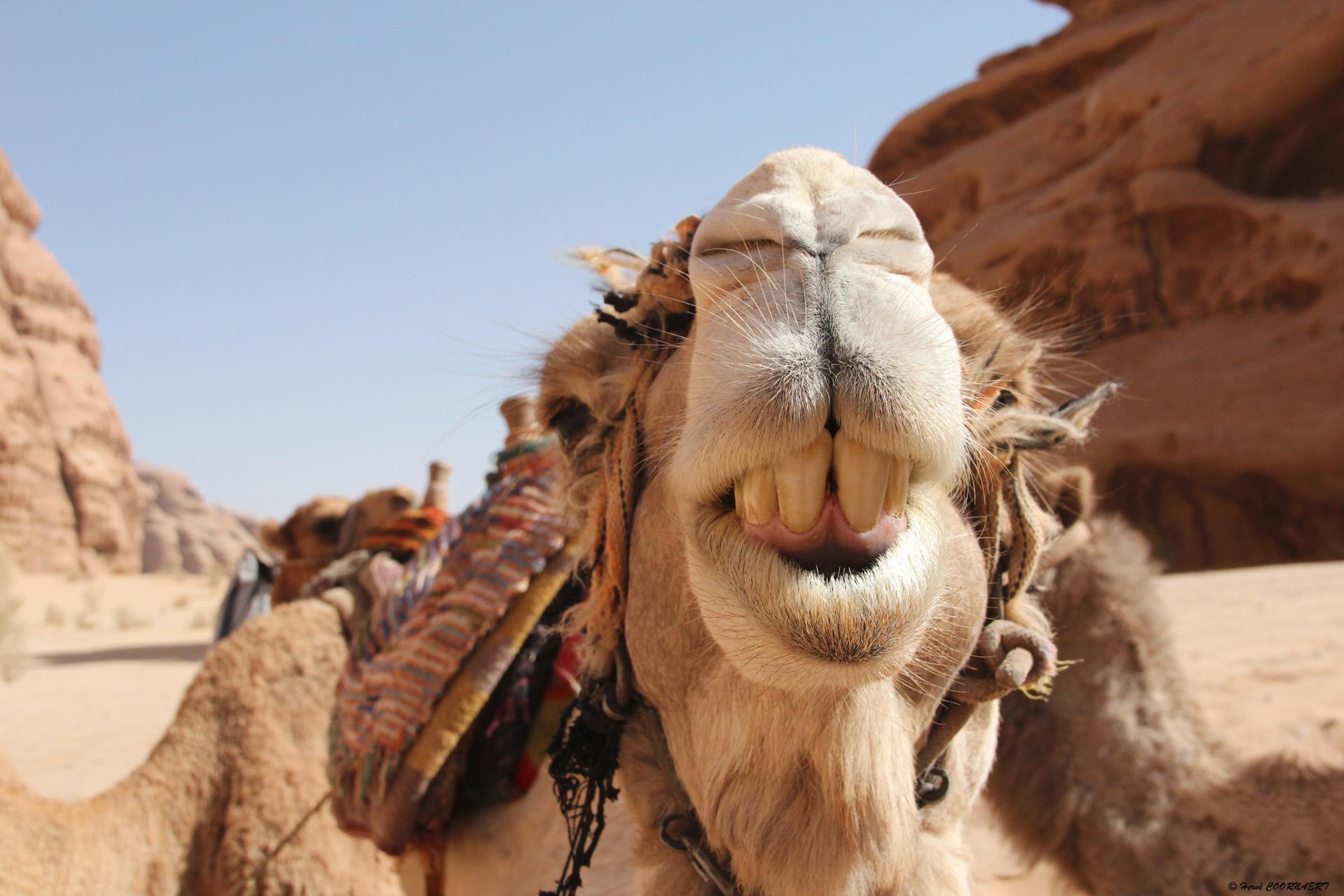 Sourire de chameau.JPG