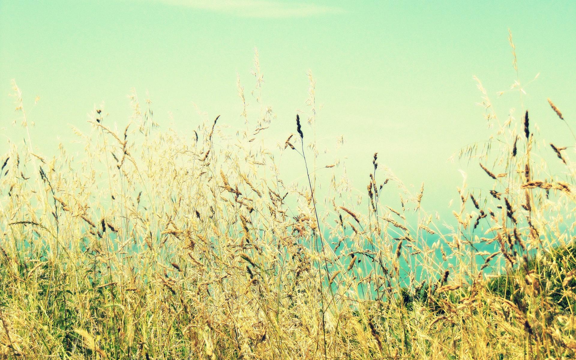 Le blé en herbe ...
