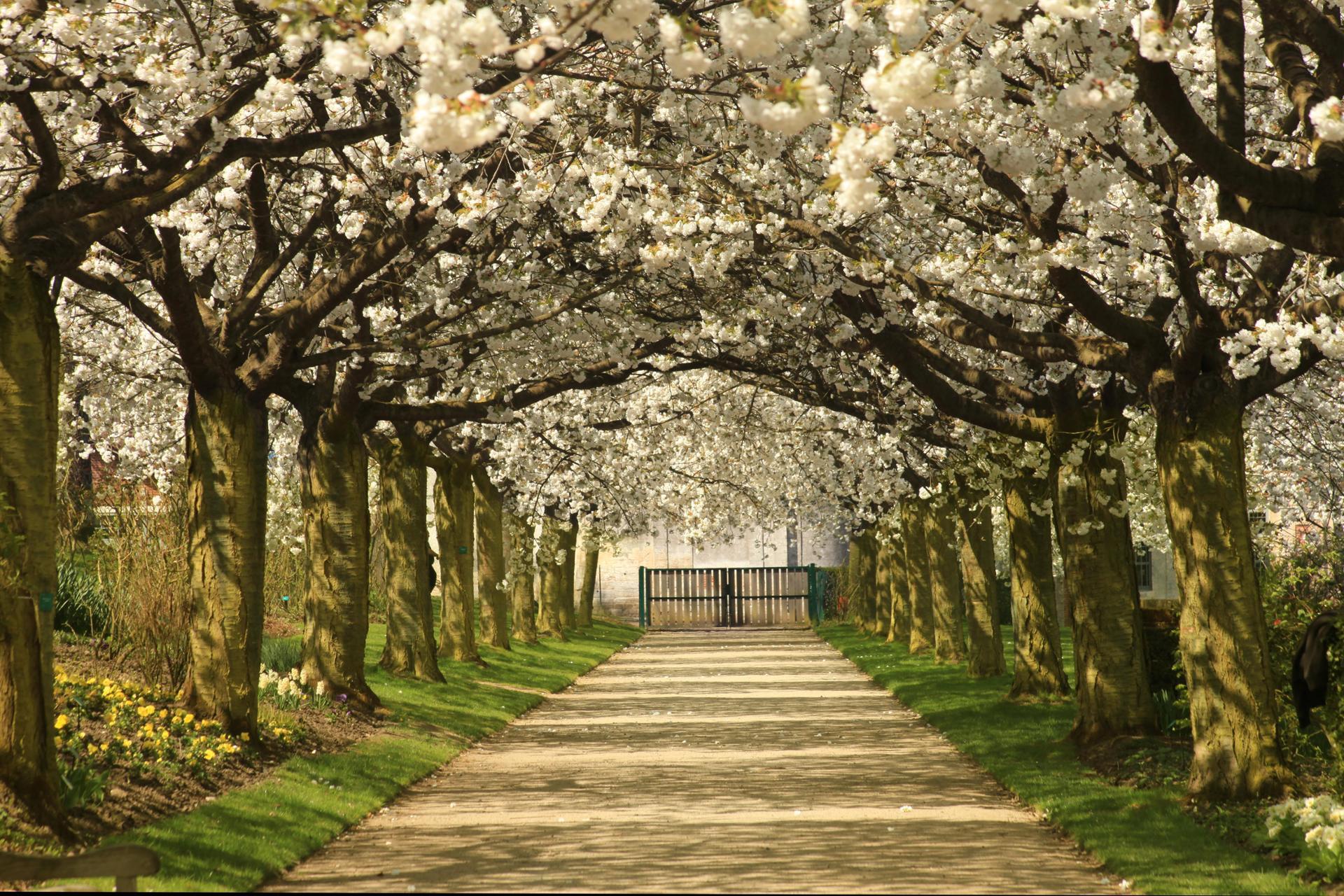 l'allée des cerisiers du japon