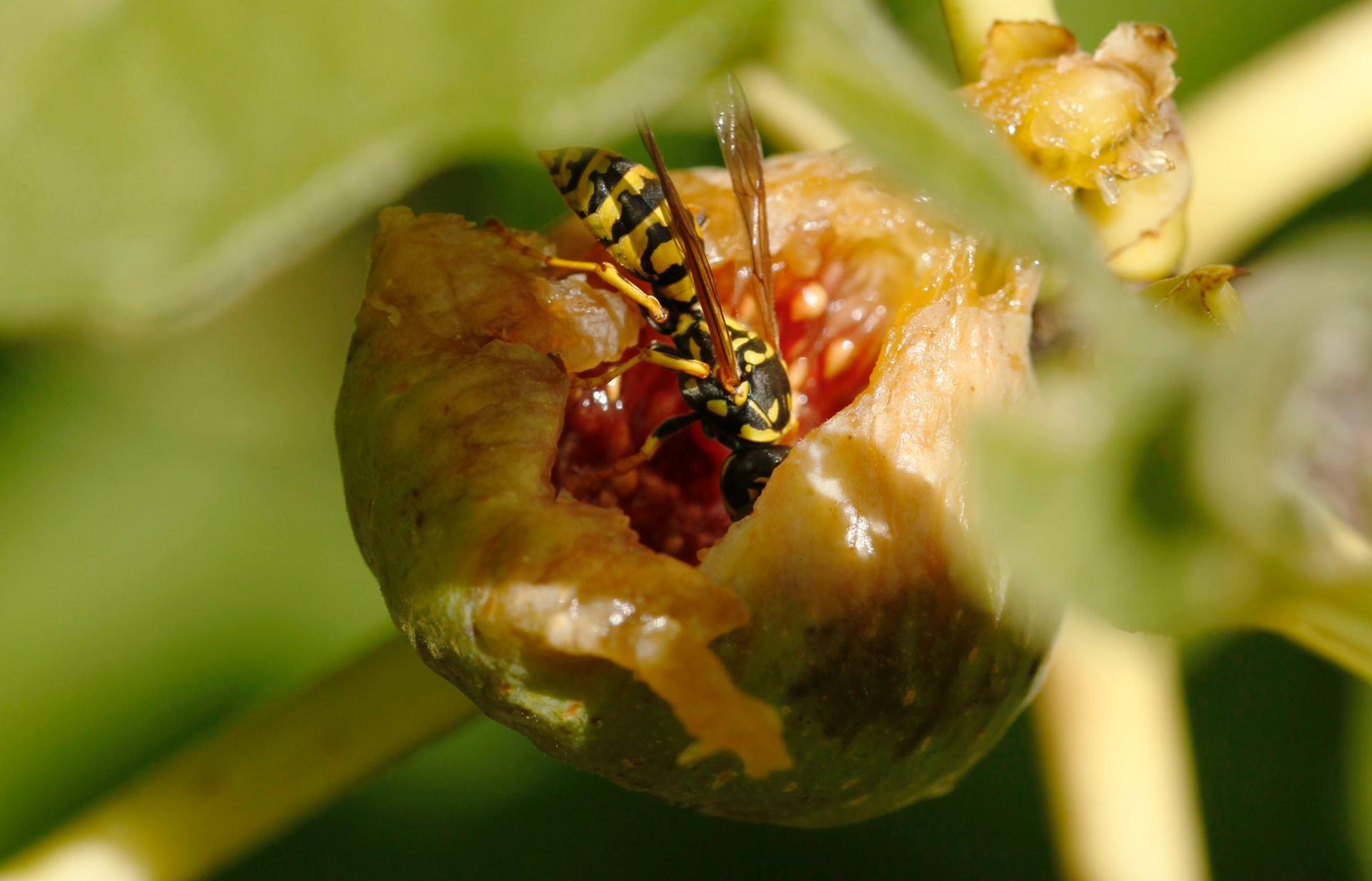 la guèpe mangeuse de figue