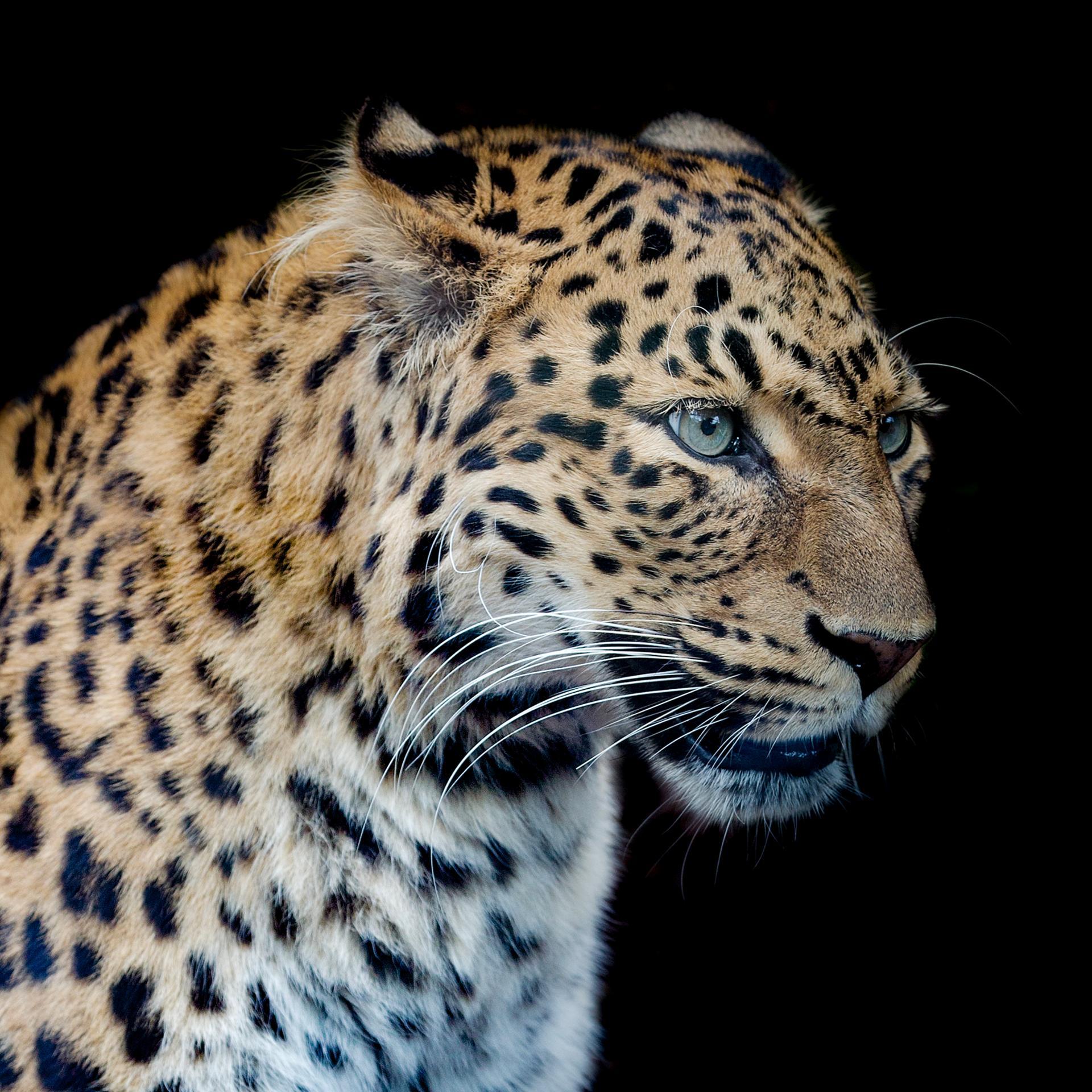 Panthere portrait