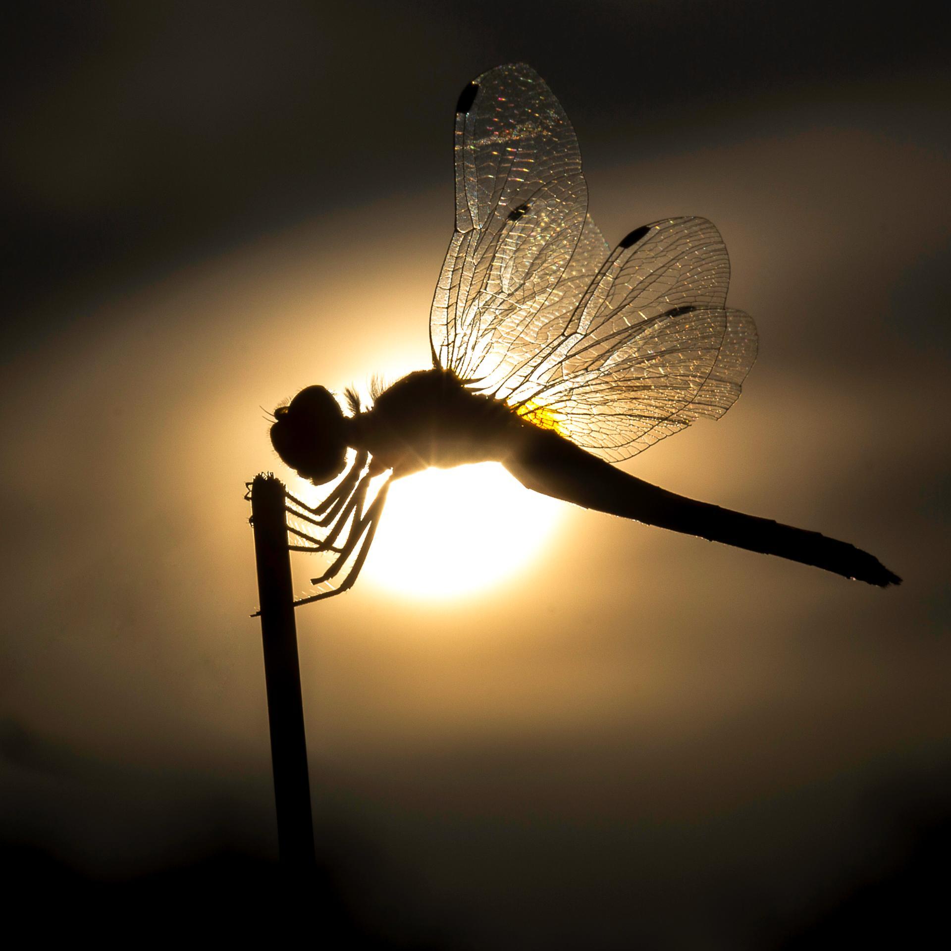Fée libellule