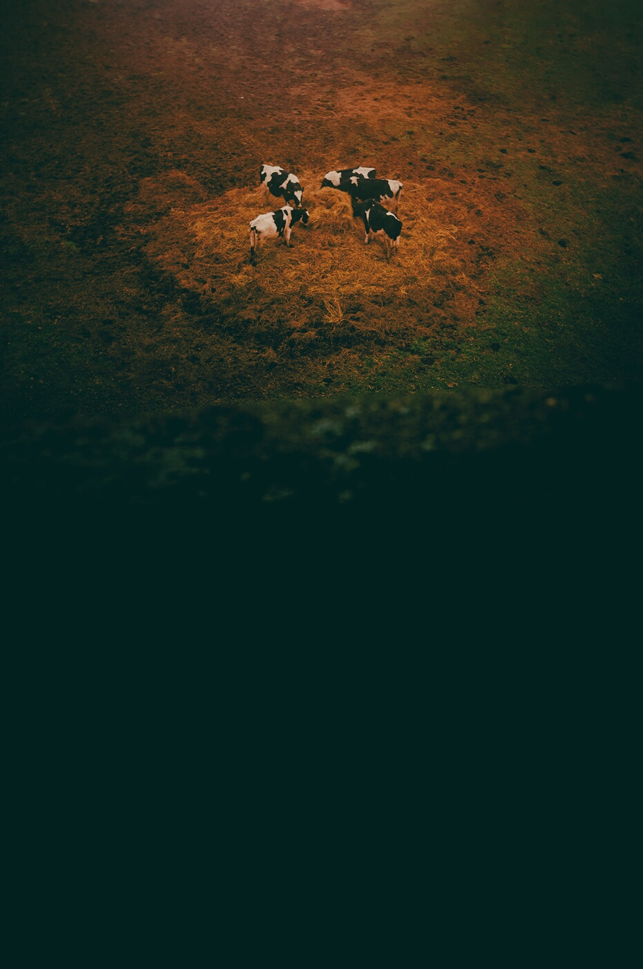 Cinq vaches