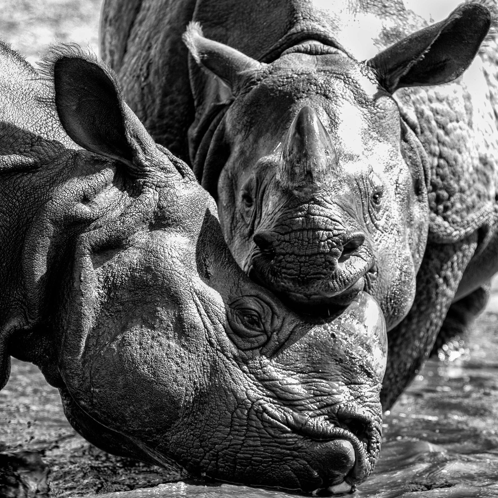 câlin de rhino.